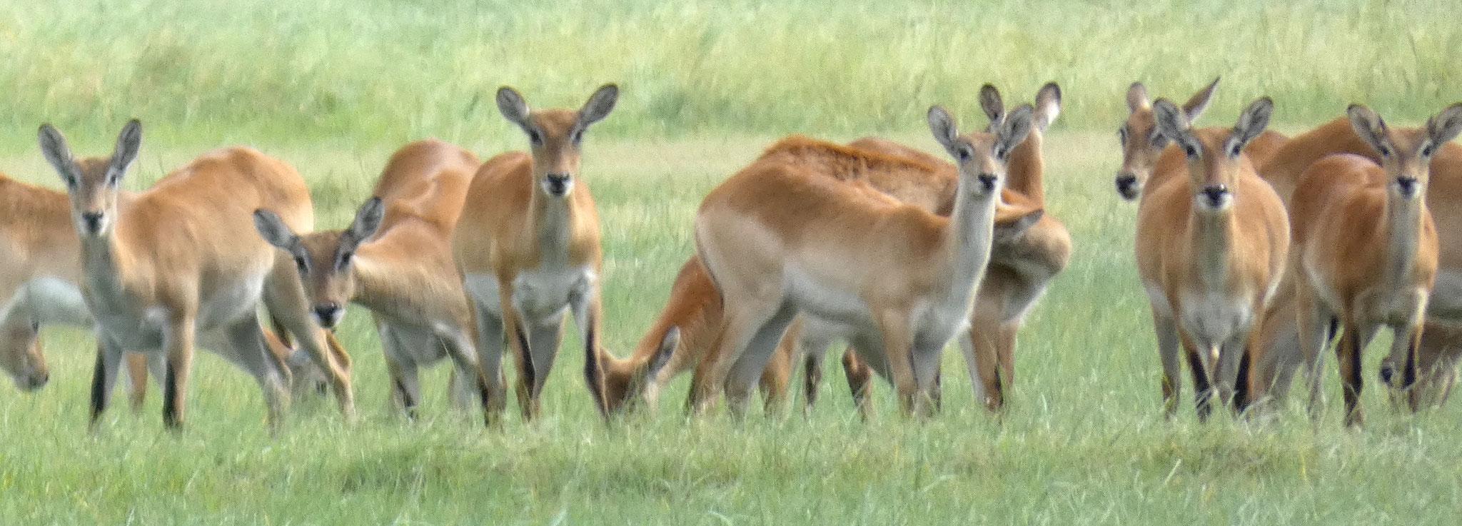Moorantilope