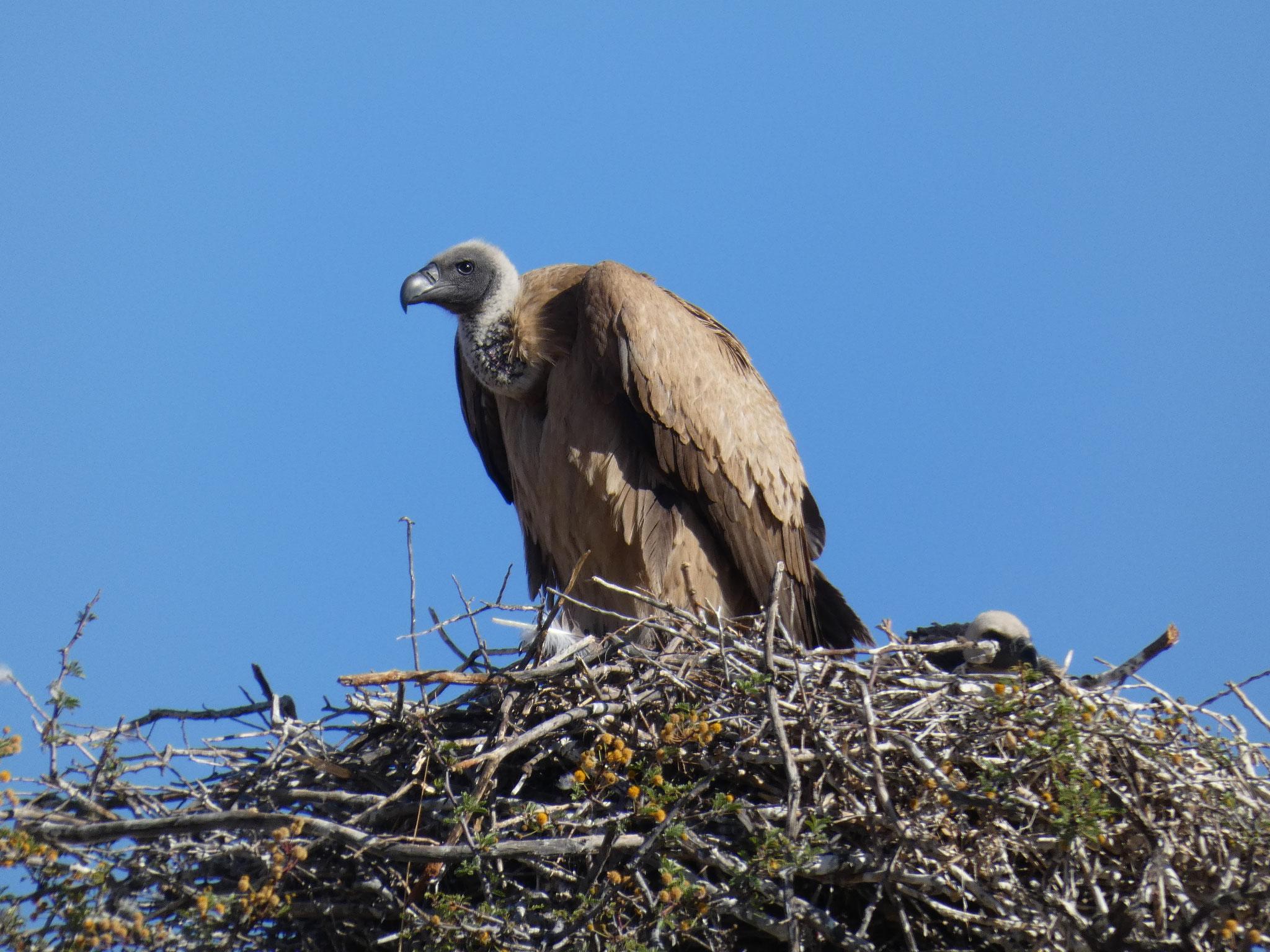 .... mit einem Jungen im Nest