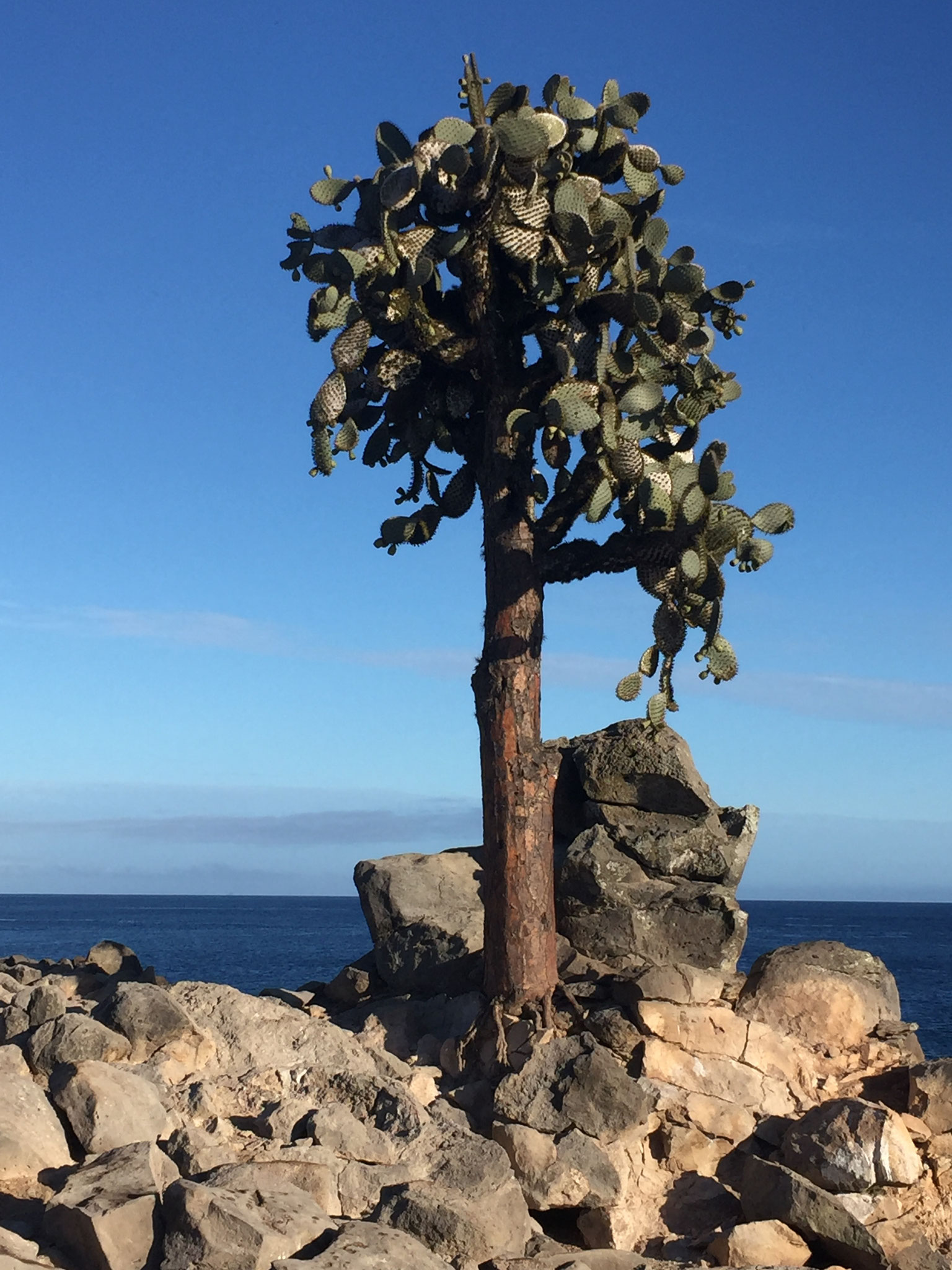 Kaktusbäume