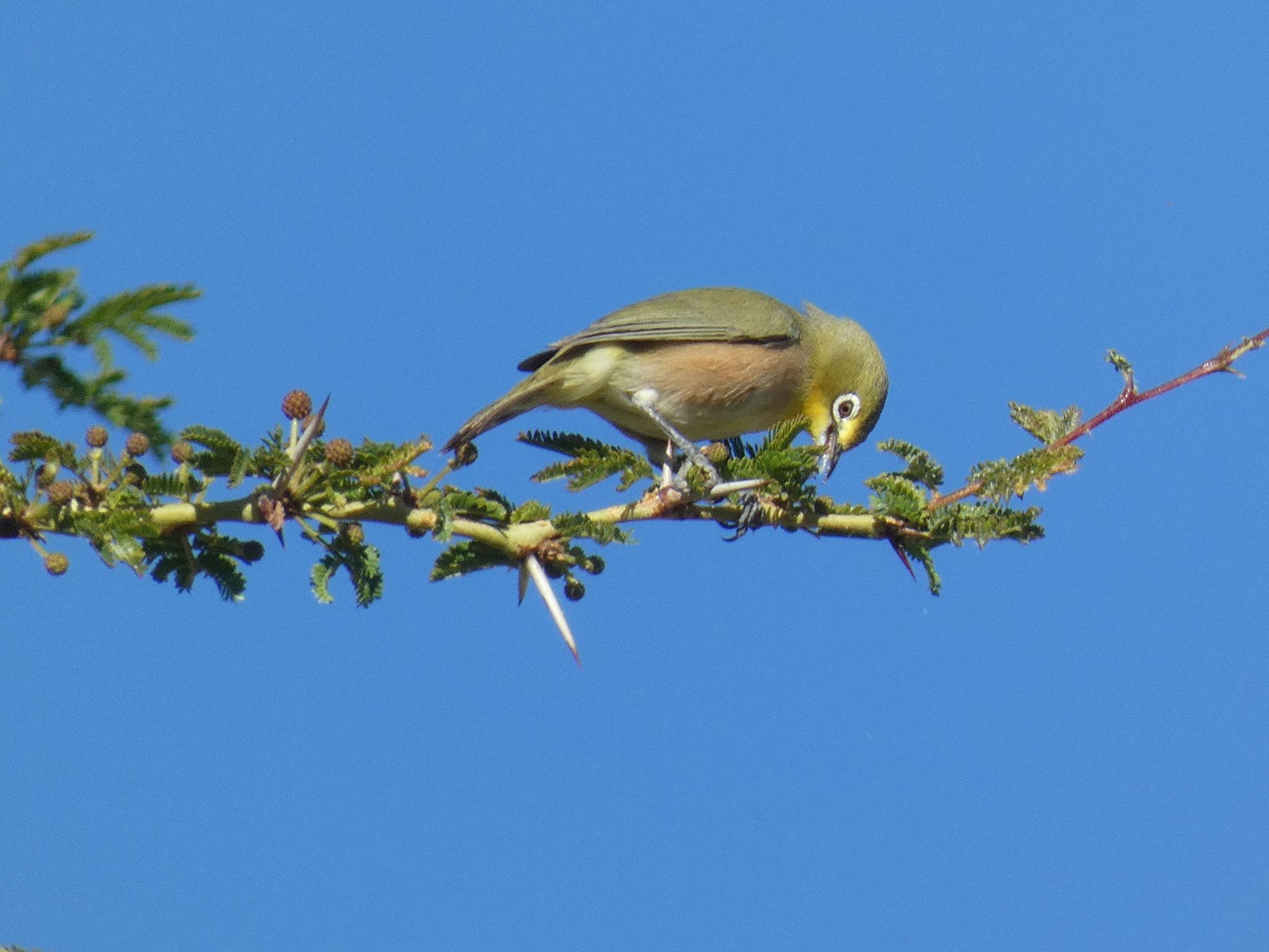 Oranjebrillenvogel