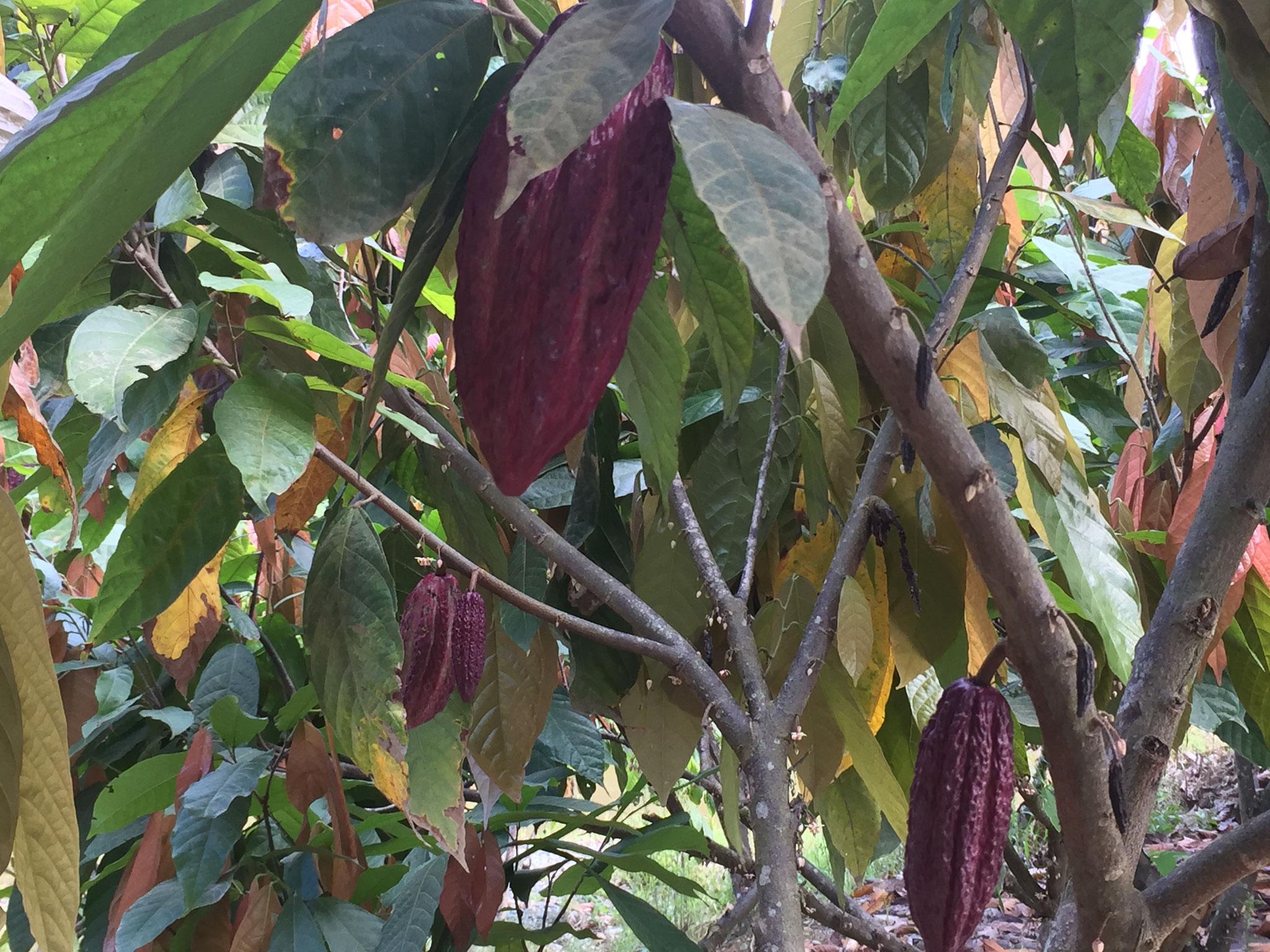 Ausflug: Kakao