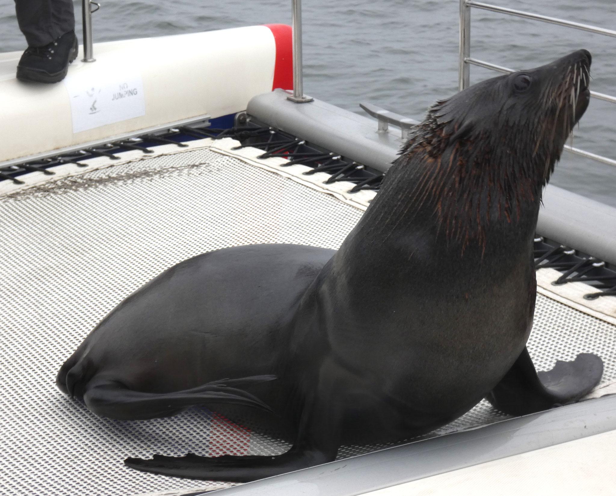 Kappelzrobben auf dem Boot