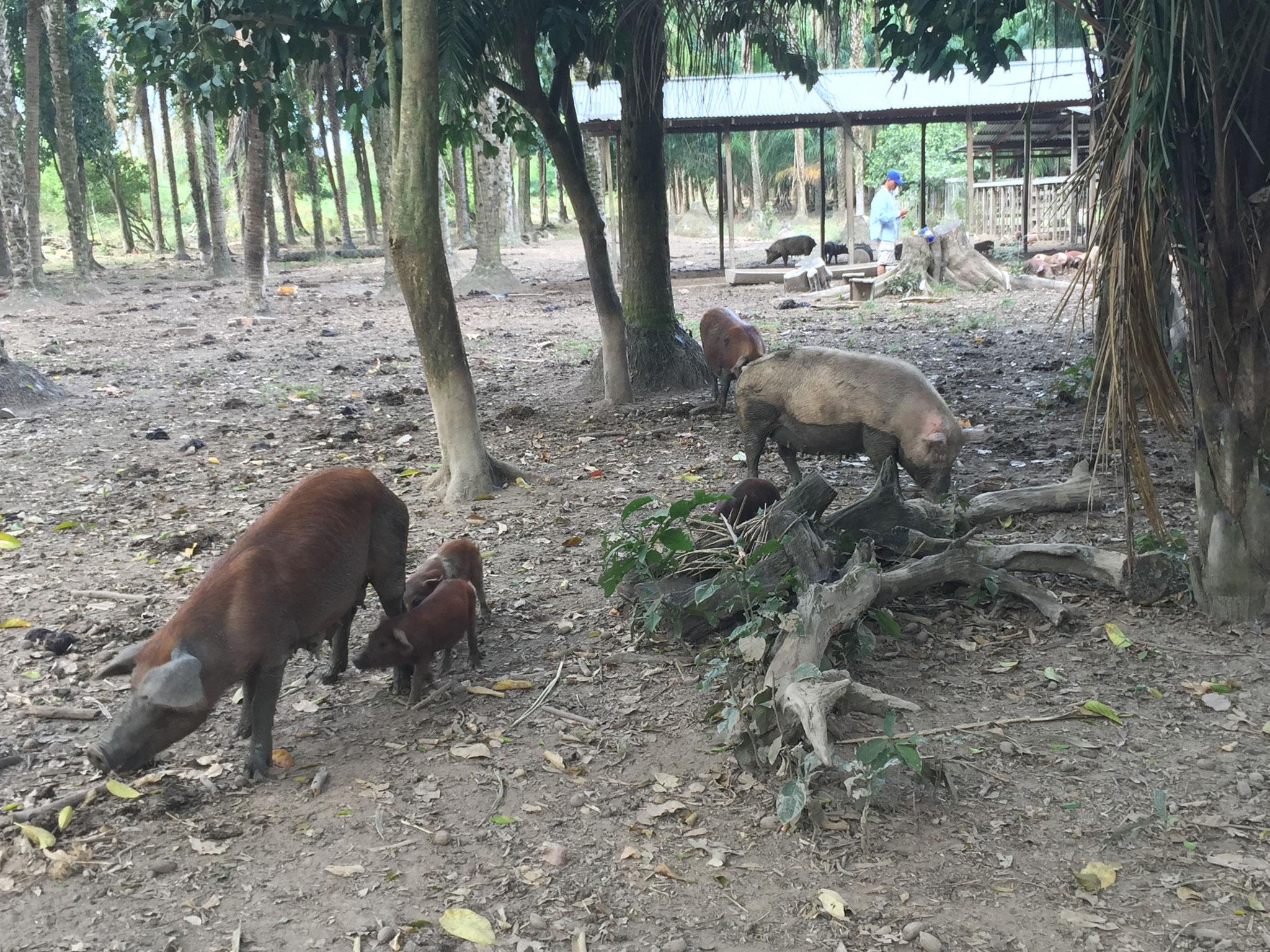 auch Schweine gibt es!
