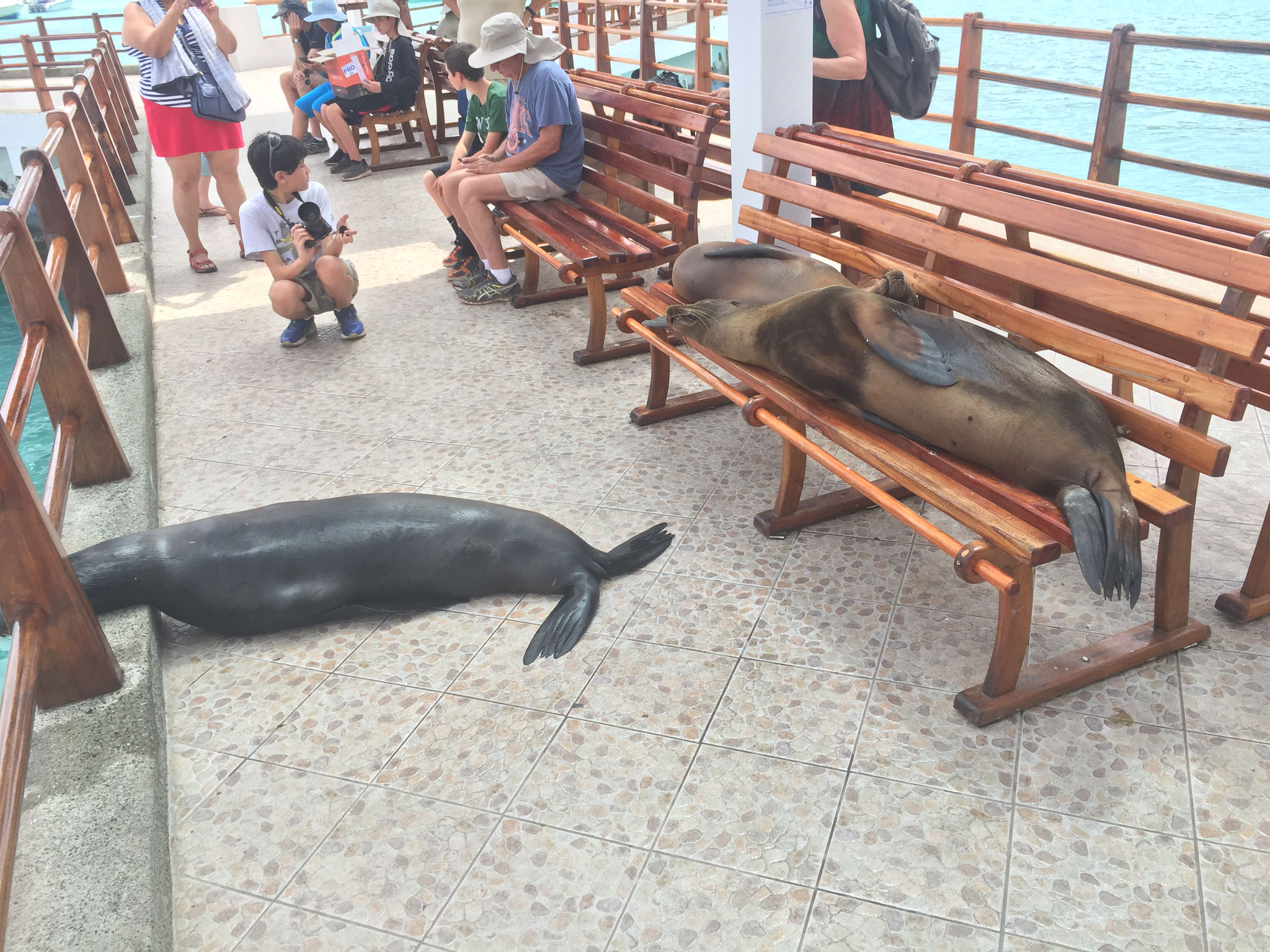 Seelöwen am Pier haben Vortritt