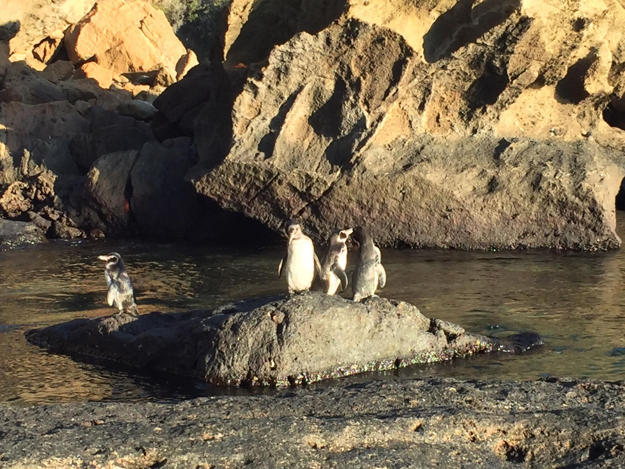 Galapagos, die nördlichsten Pinguine