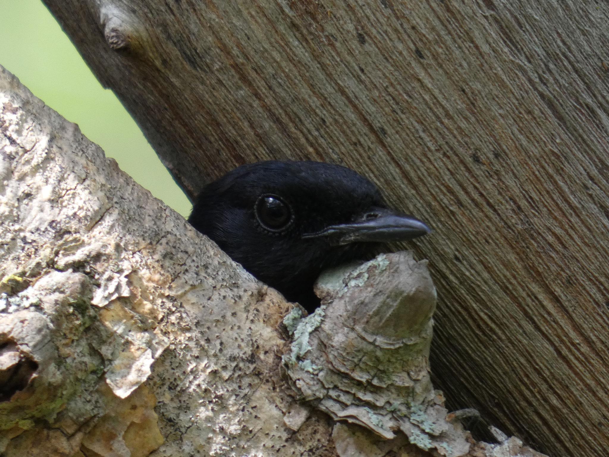 seinem Weibchen im Nest