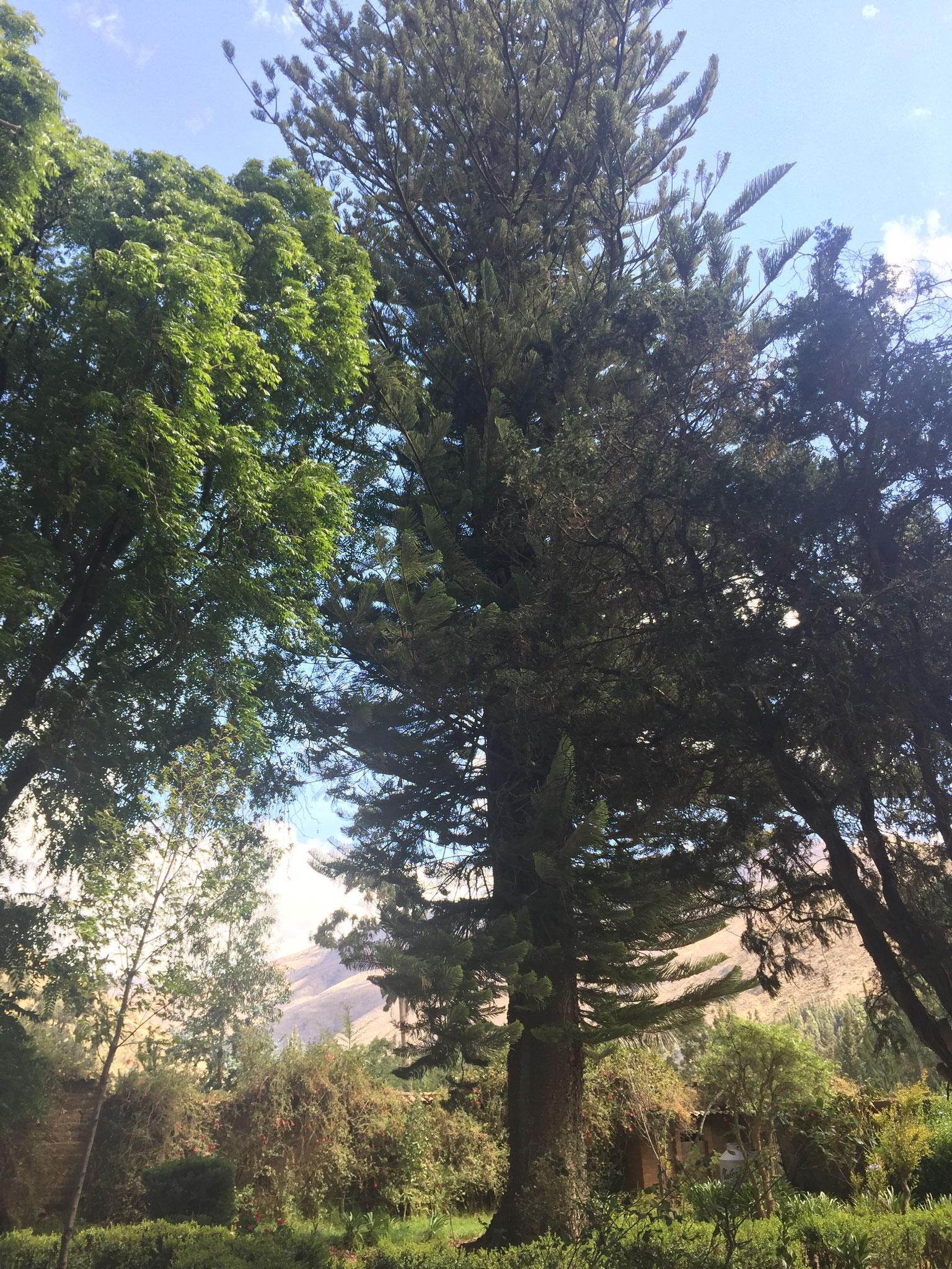 ....riesigen Bäumen ......