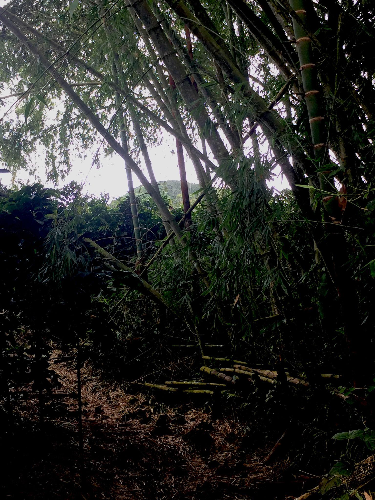 kolumbianischer Bambus
