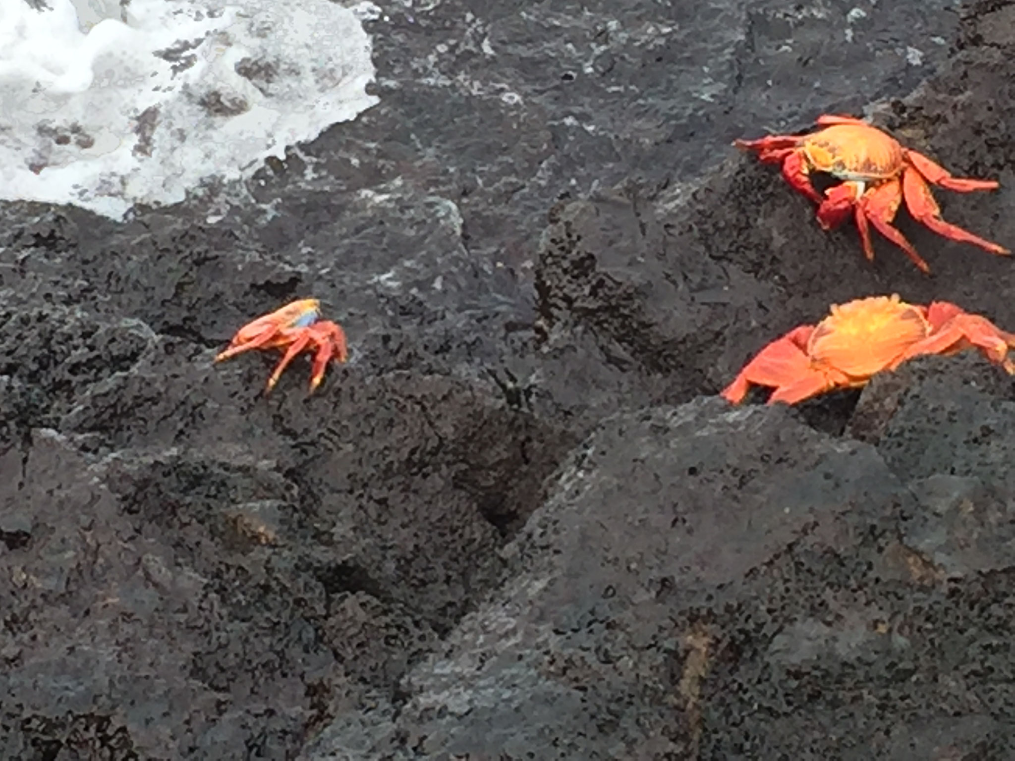 Rote Klippenkrabben