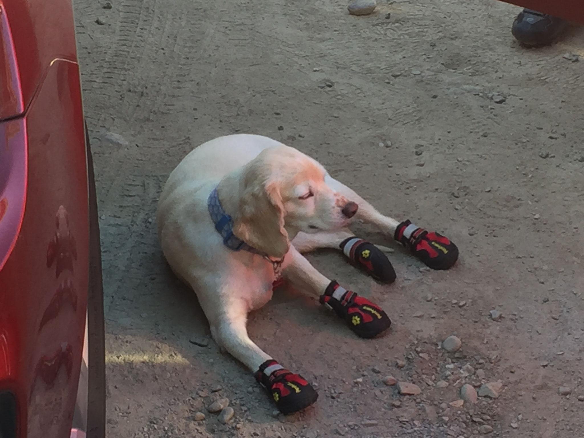 Hund mit Laufschuhen