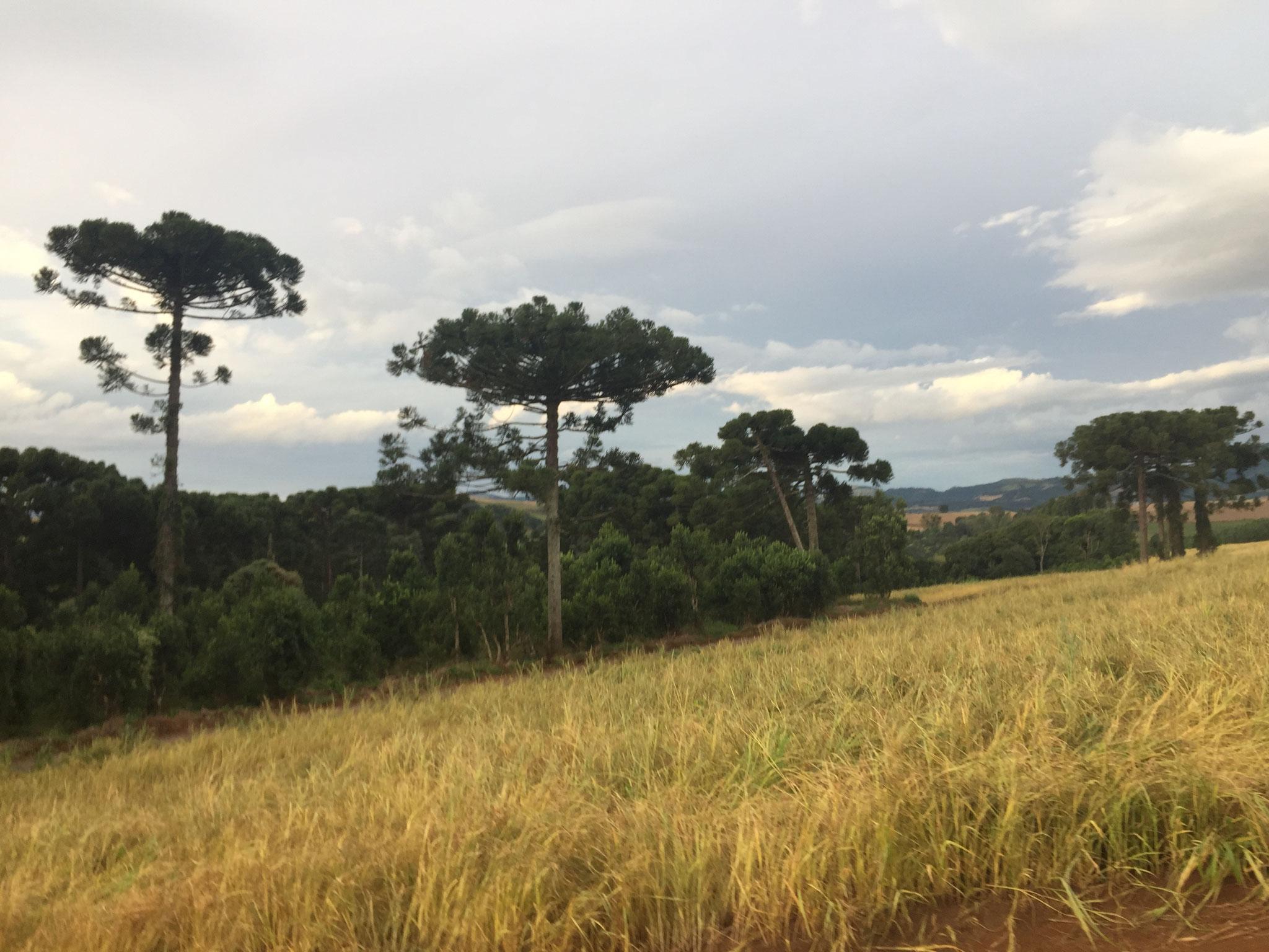 Die Araukarien in Südbrasilien
