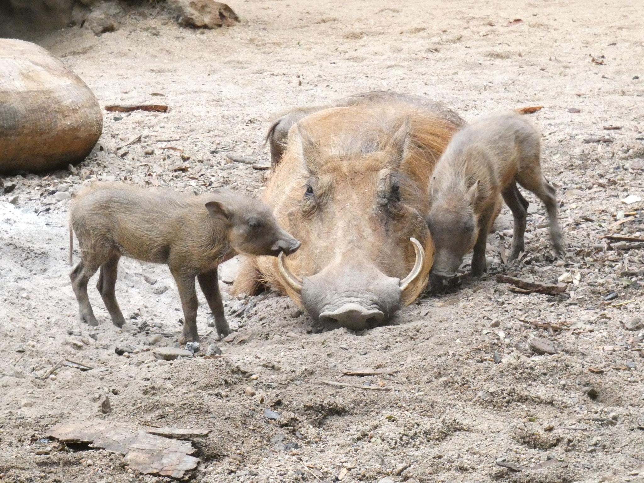 Warzenschweine mit Jungen
