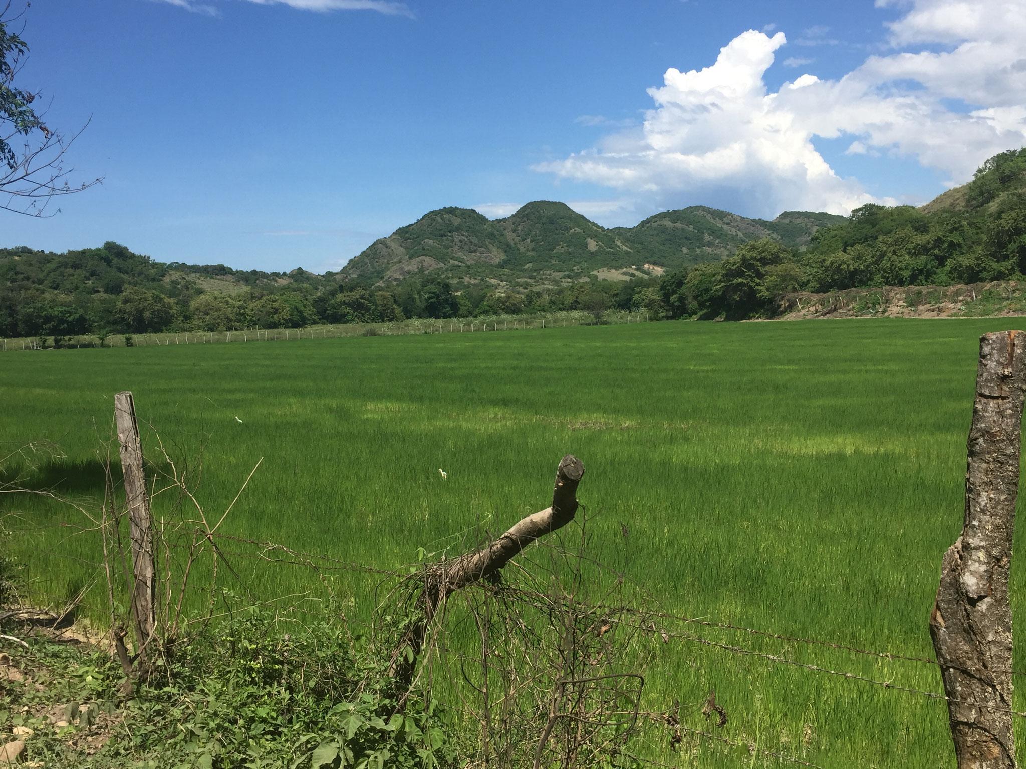 Reisplantagen