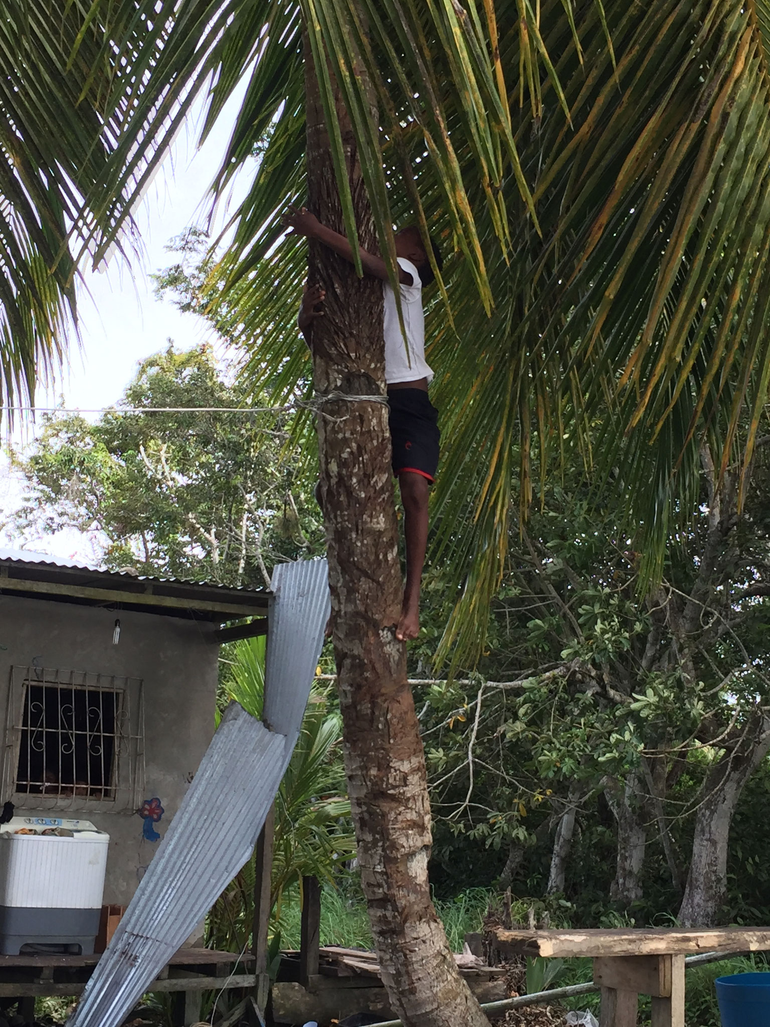 Kokos holen vom Baum