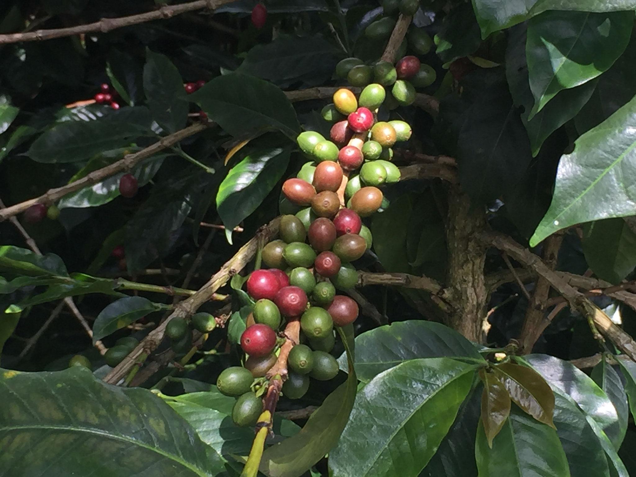 die roten sind reife Kaffeebohnen
