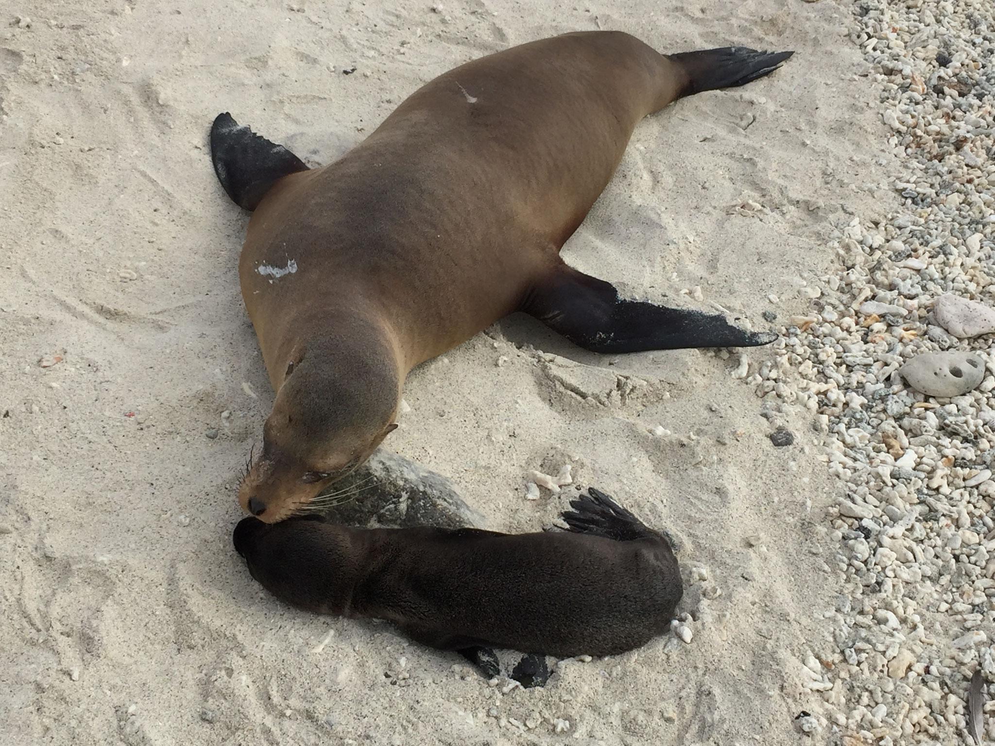 Seelöwenmami und Baby