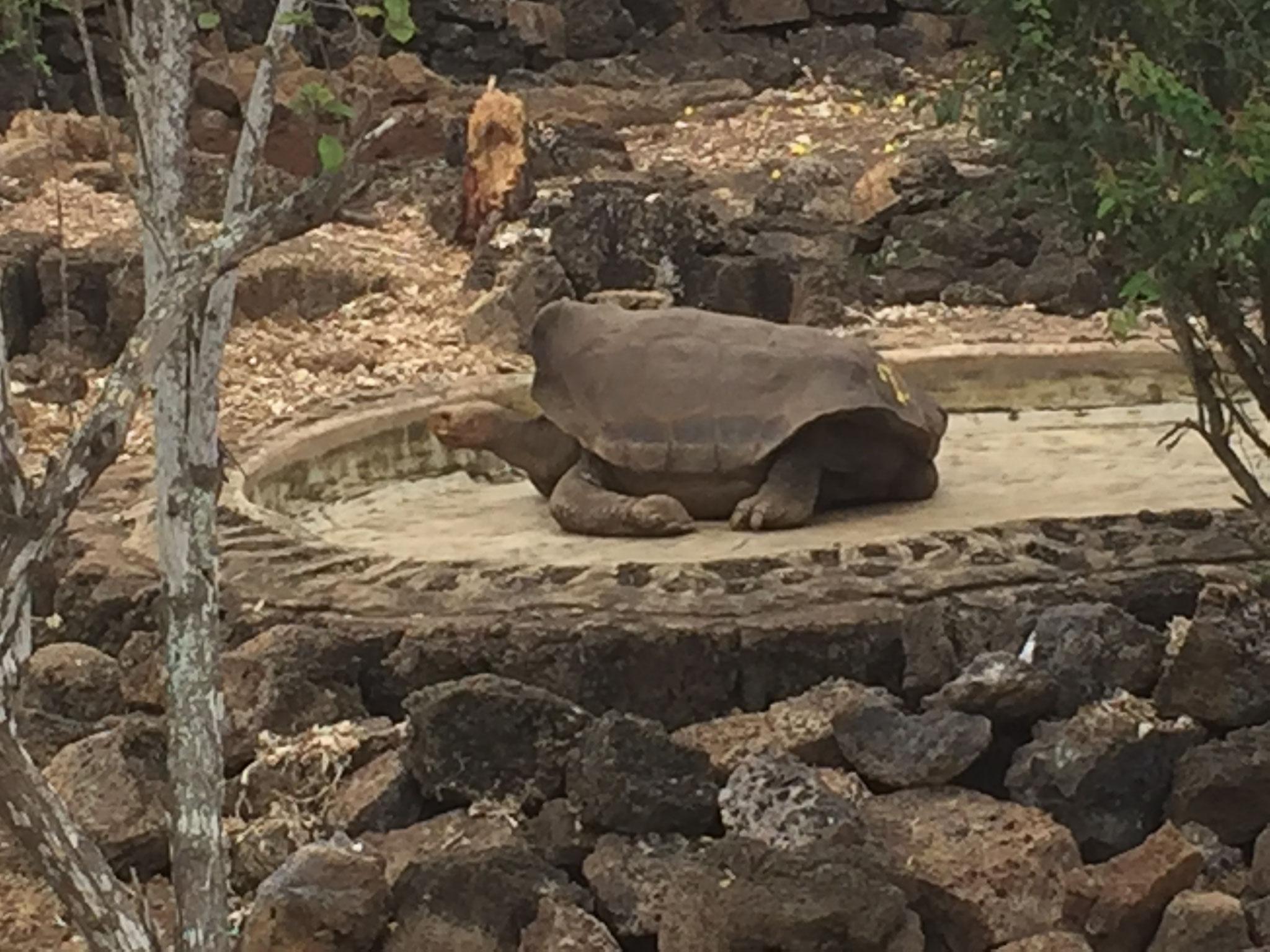 Saddelback Schildkröte