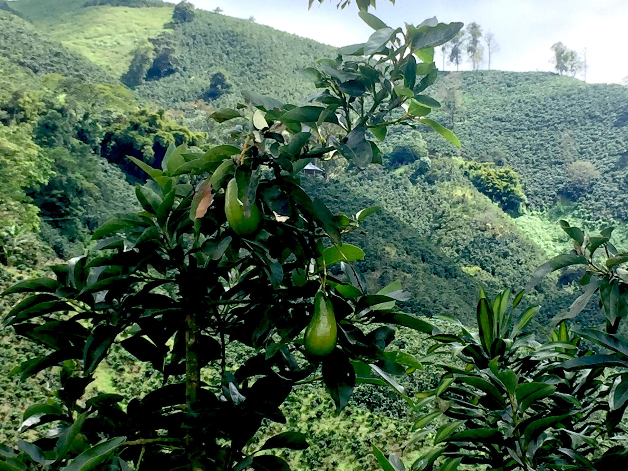 Früchte auf der Kaffeeplantage