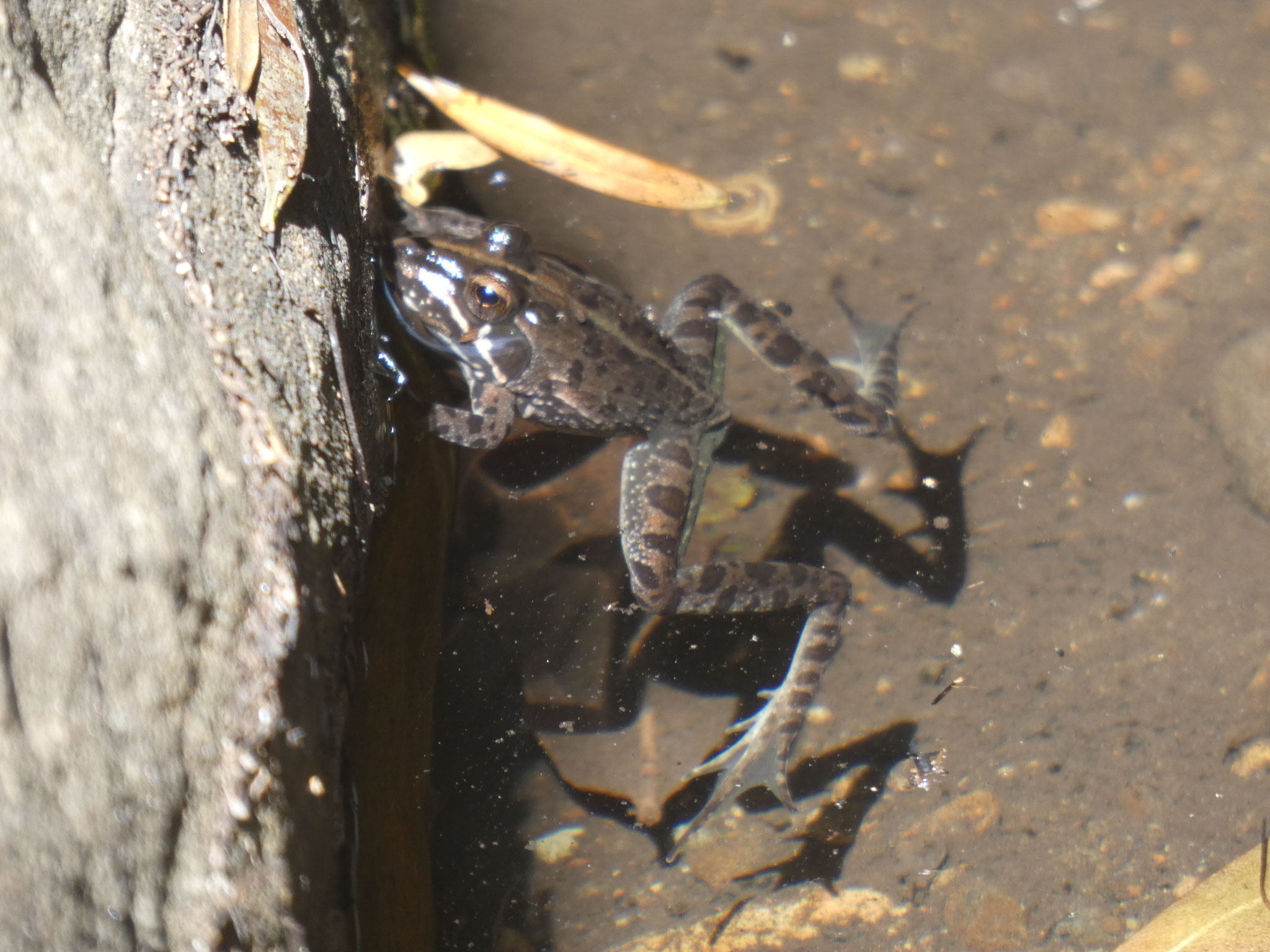 Drakensberg Flussfrosch