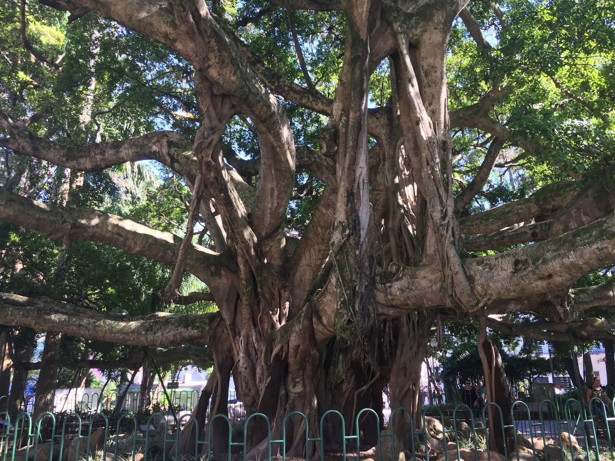 1500jähriger Feigenbaum