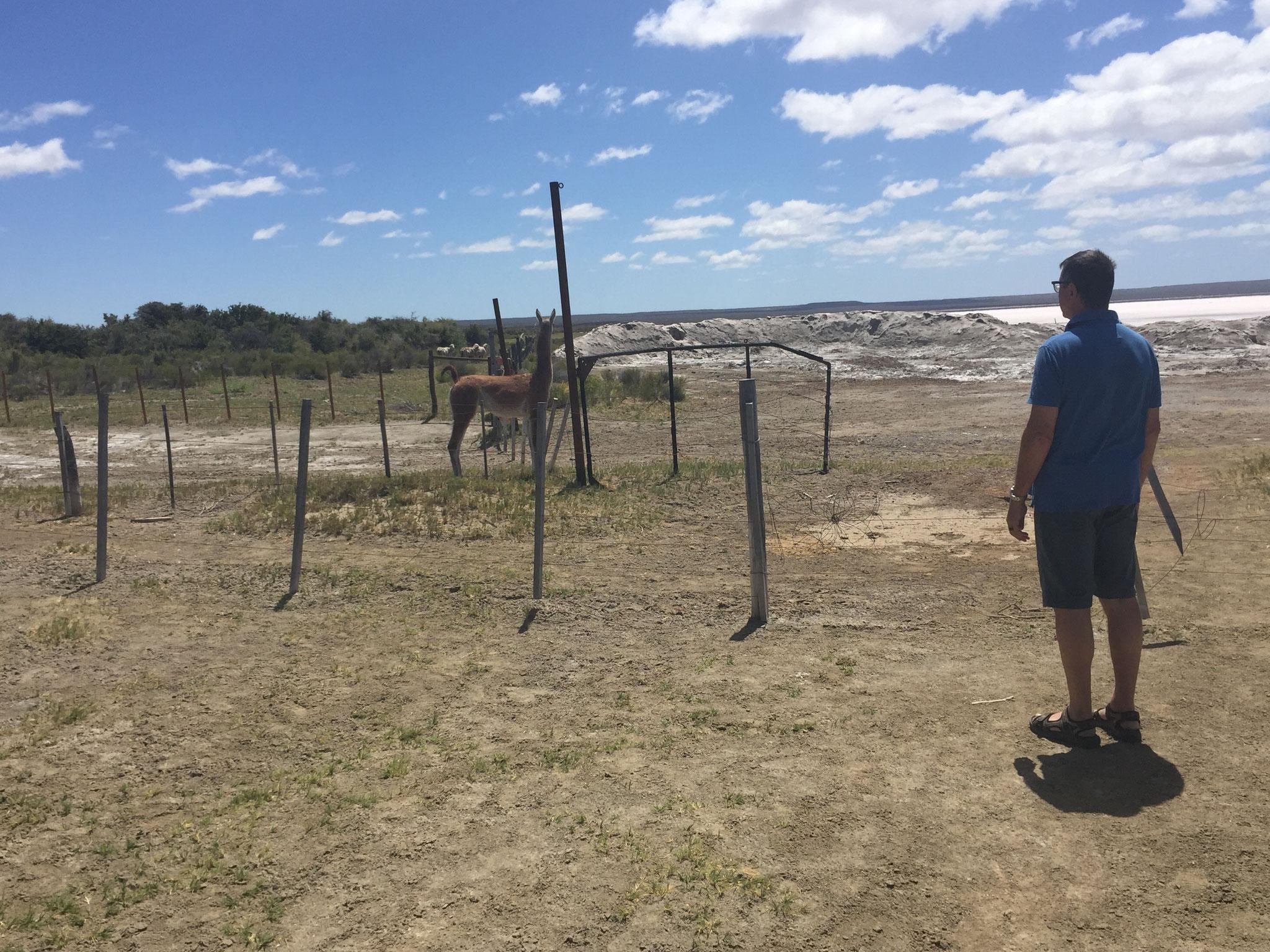 Zaun und Guanako versperren Weg