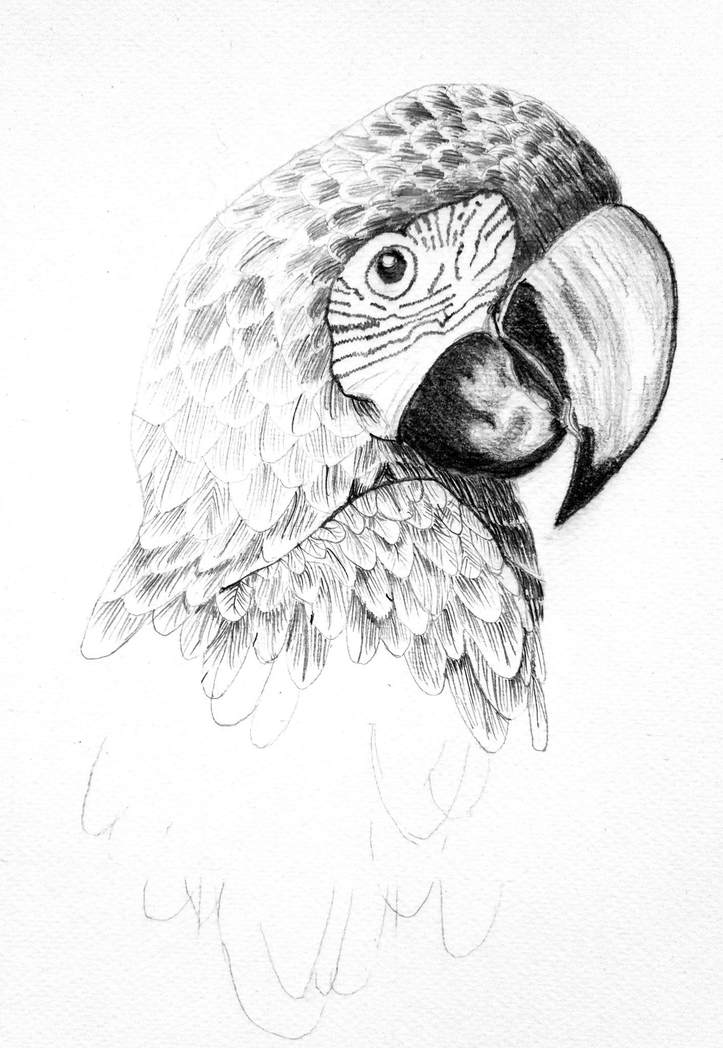 Ara au crayon par Pascale