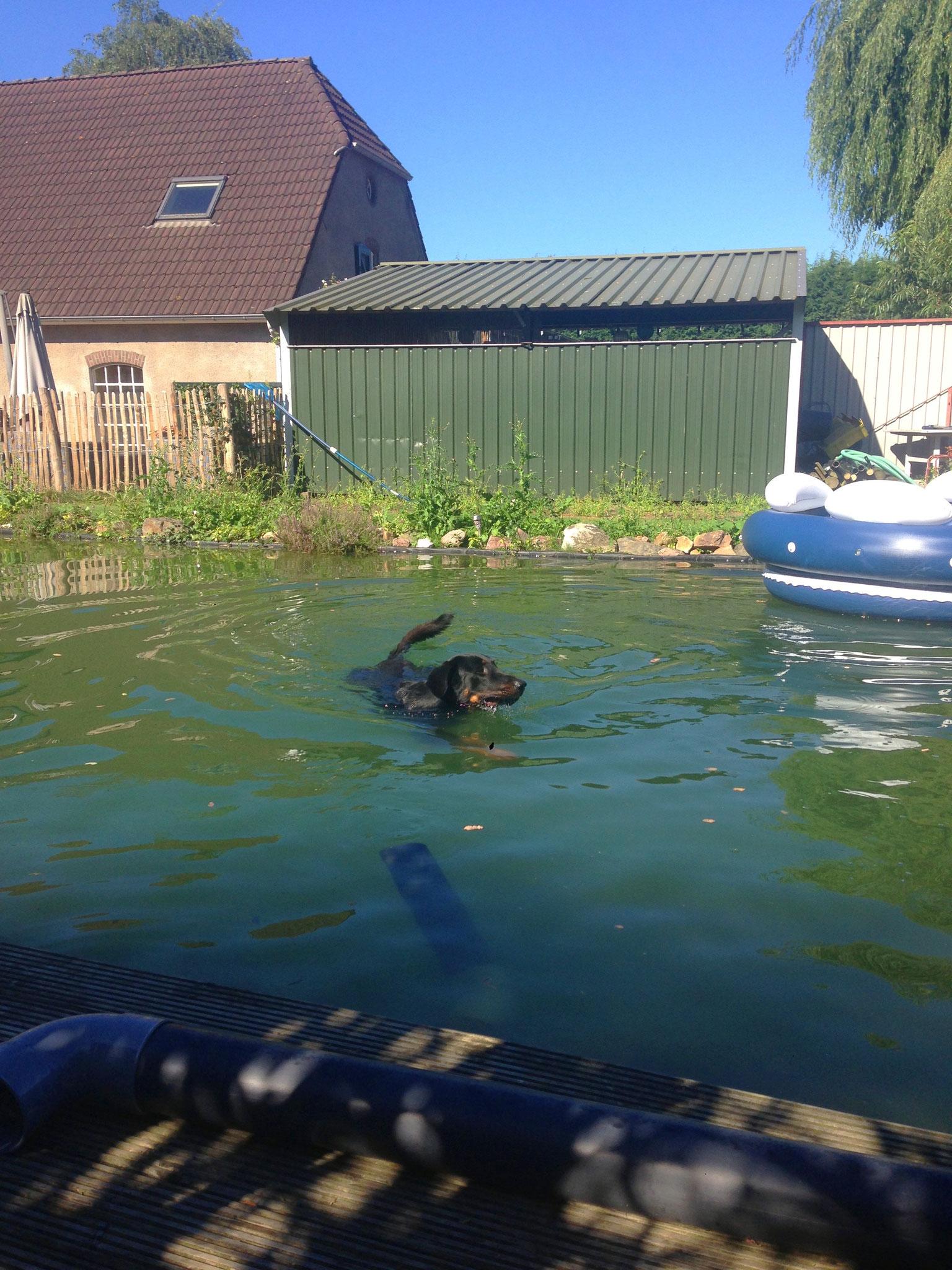 Honden zwemmen in de vijver