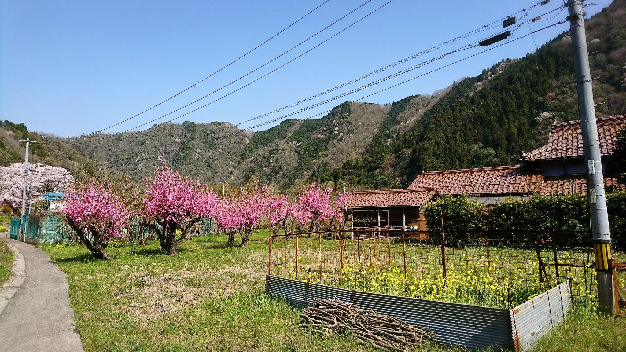 田んぼに植えられたハナモモ