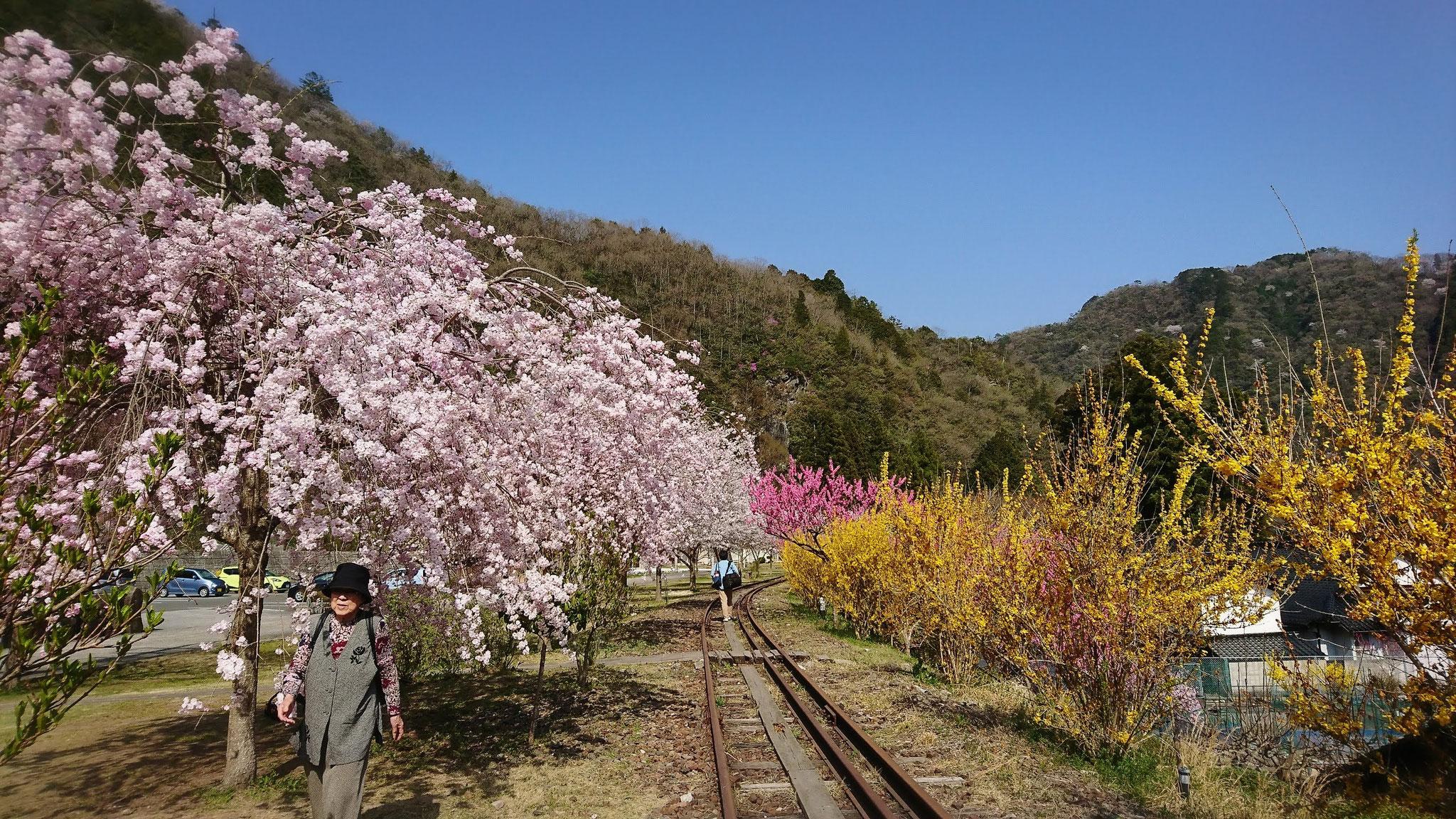 枝垂桜のアーチ 風に舞い散る花弁をかいくぐる 夢のよう…