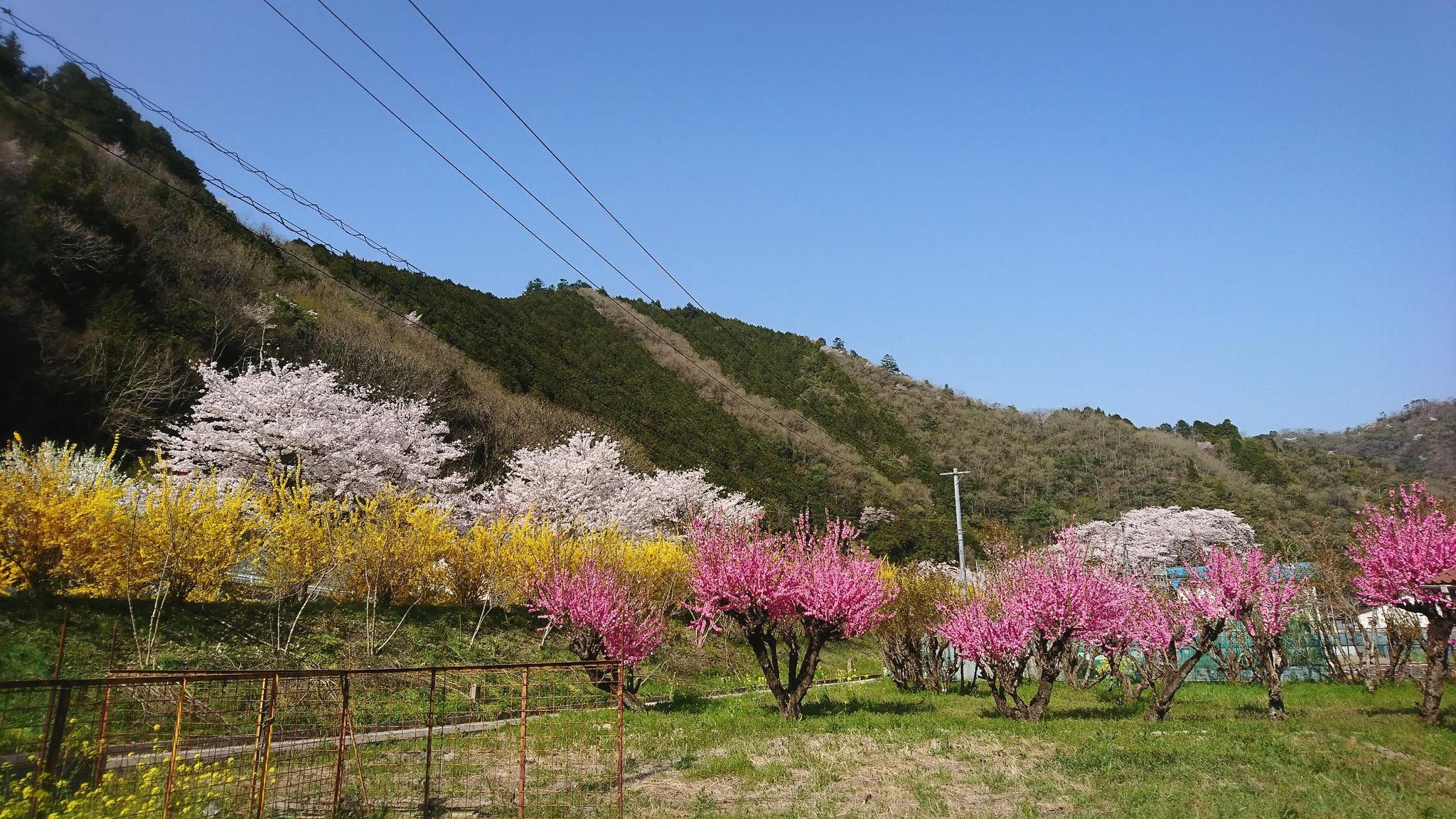 里山の春の彩 黄とピンクが、桜を白に見せる
