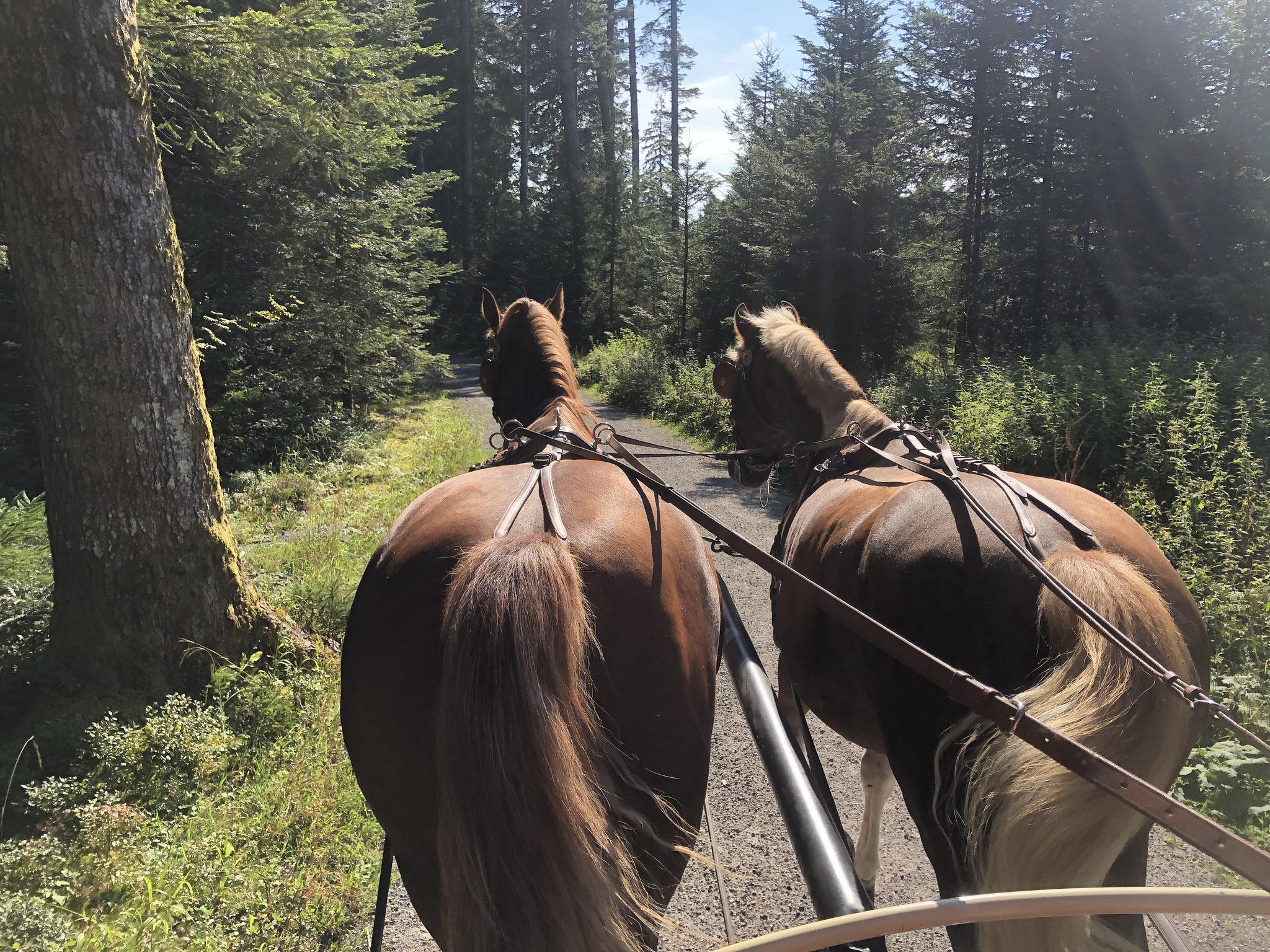 Vorbereitung Tag vorher: Ausfahrt, leichtes Bewegen der Pferde