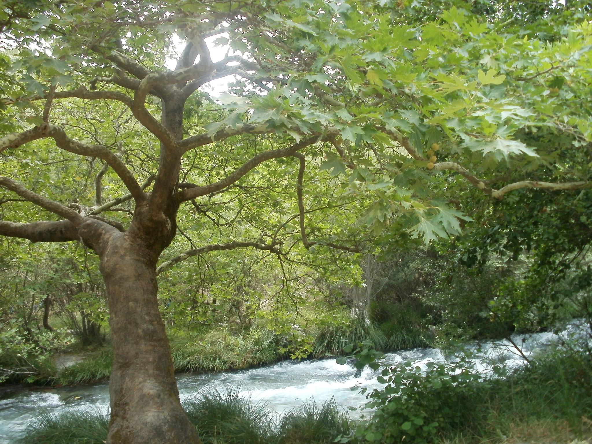 La rivière Lousios et ses arbres
