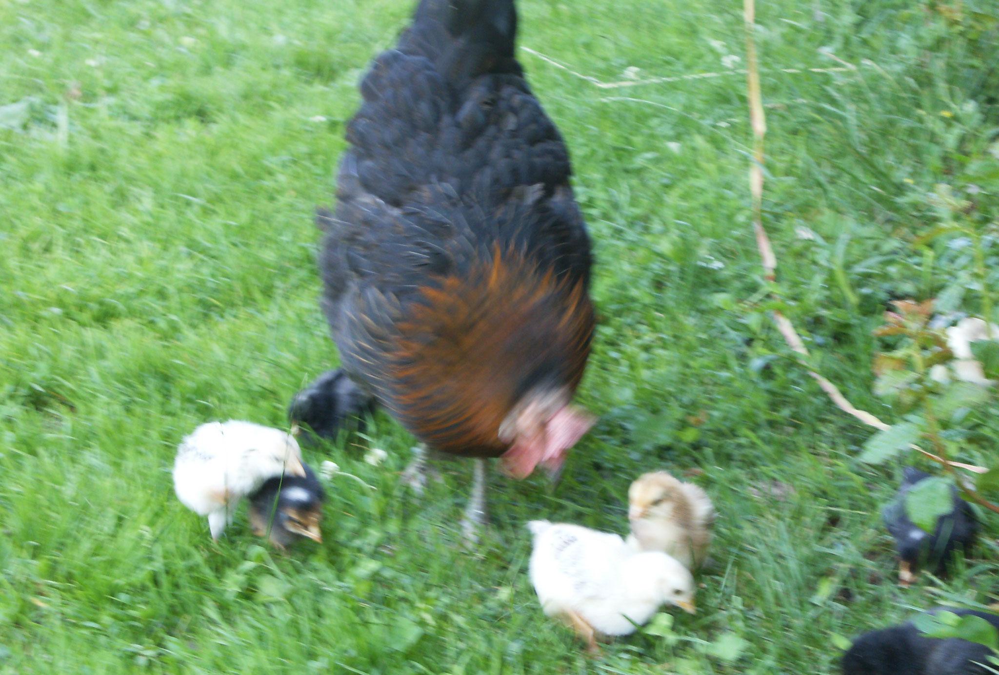 Huhn mit Küken Biohof Haus Wieser Salzburg Land