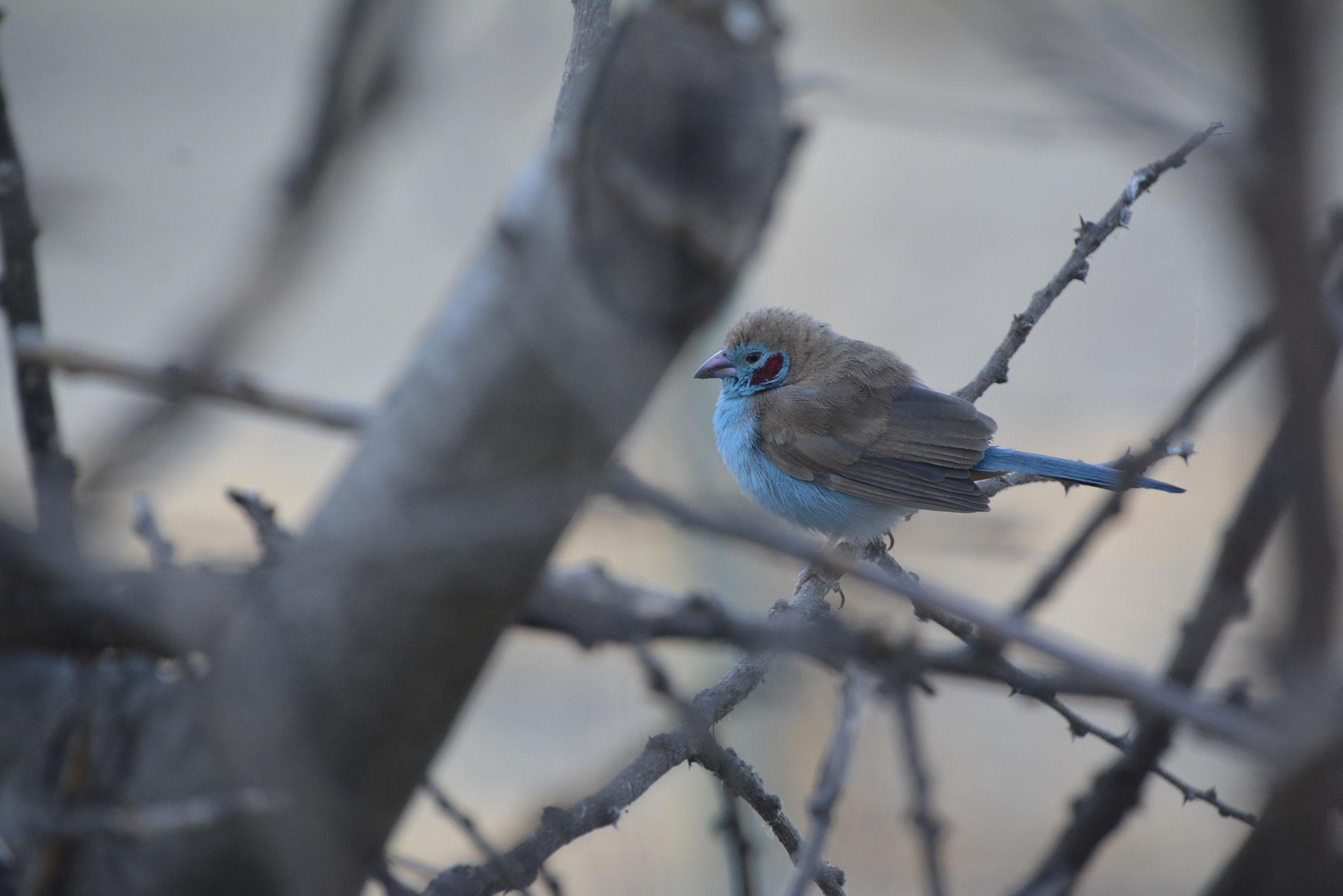 Der Cordon-Bleu Vogel.
