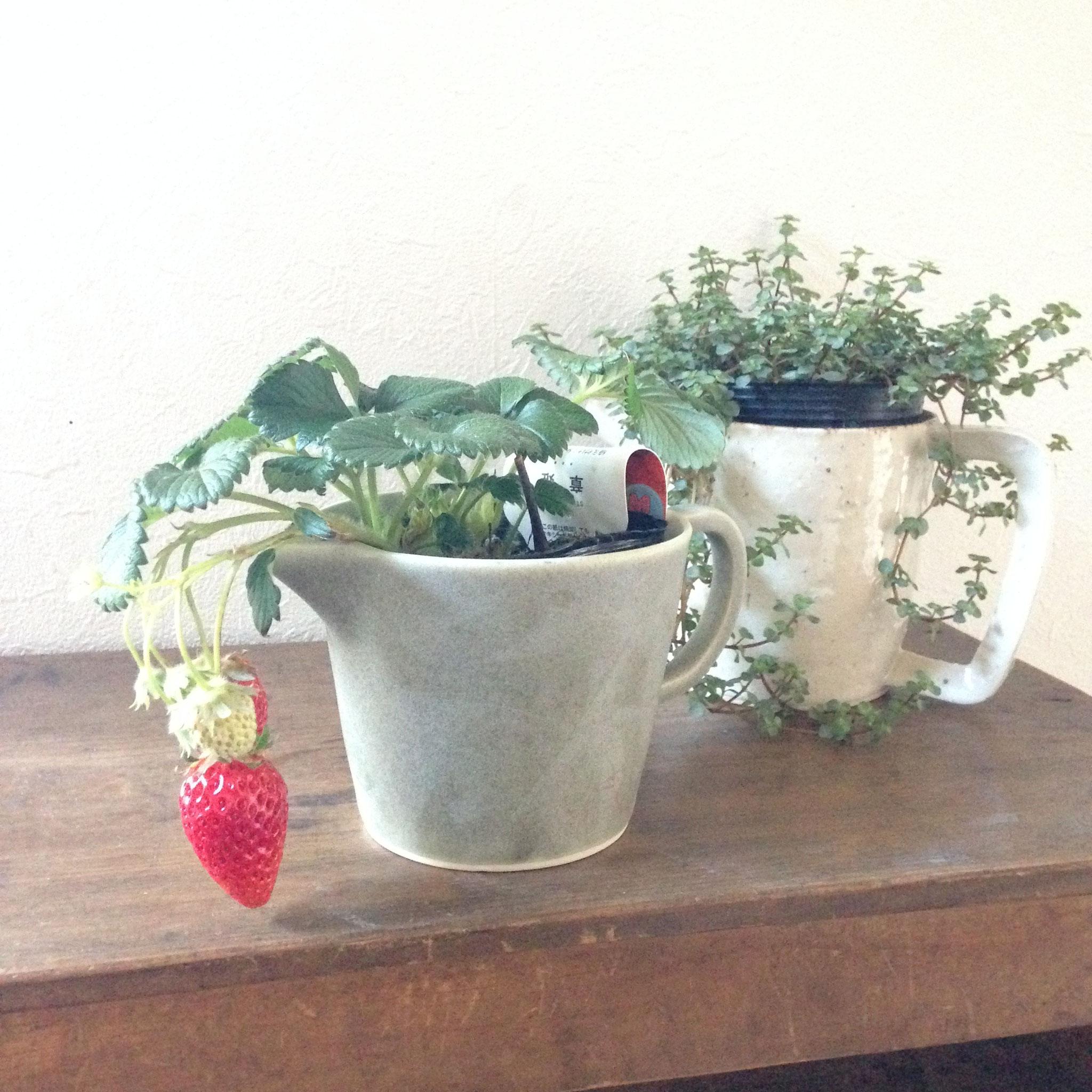 片口、ピッチャーに植物を入れてみました。