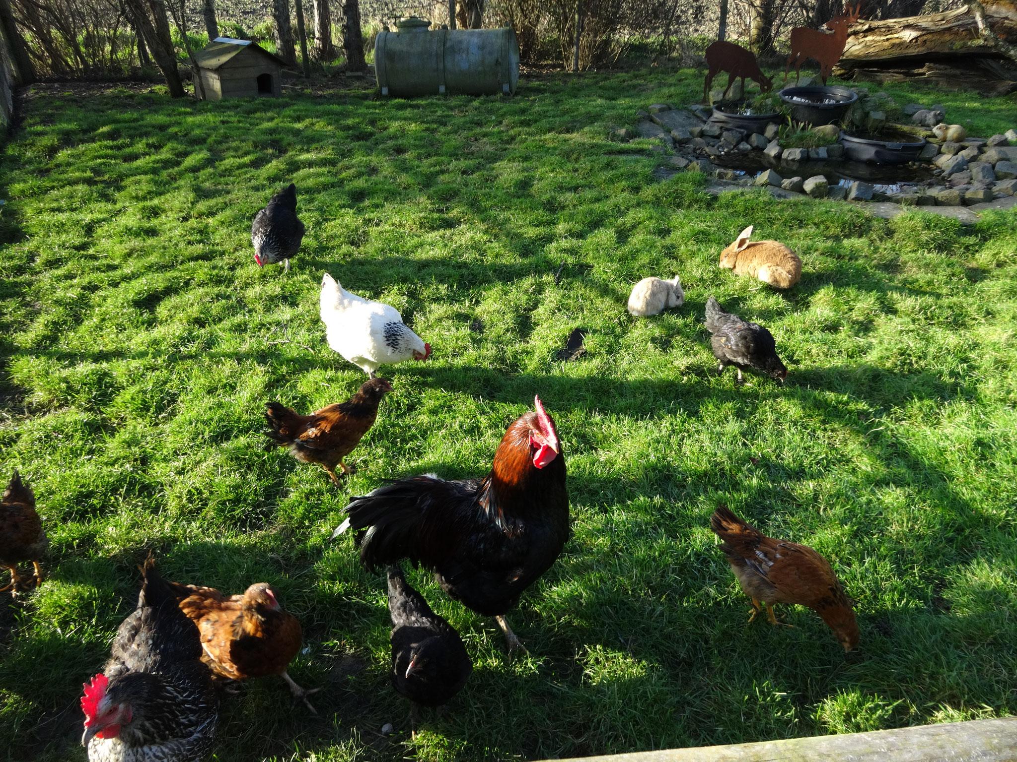 Kakelend kippen- & konijnenweitje