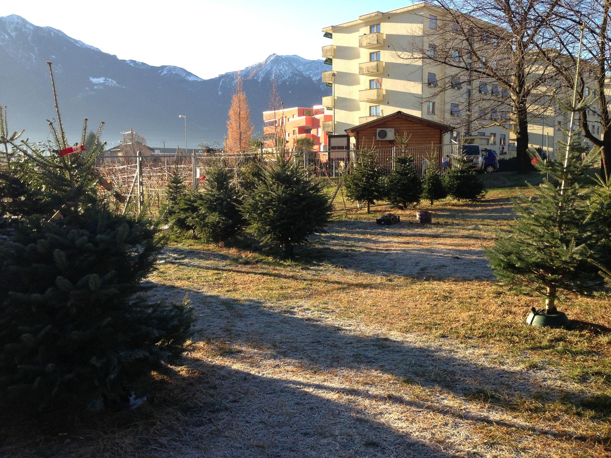 Weihnachtsbaum Verkaufsstand in Tenero TI - Tannenbaumplantage Wälchli Weihnachtsbäume Wäckerschwend