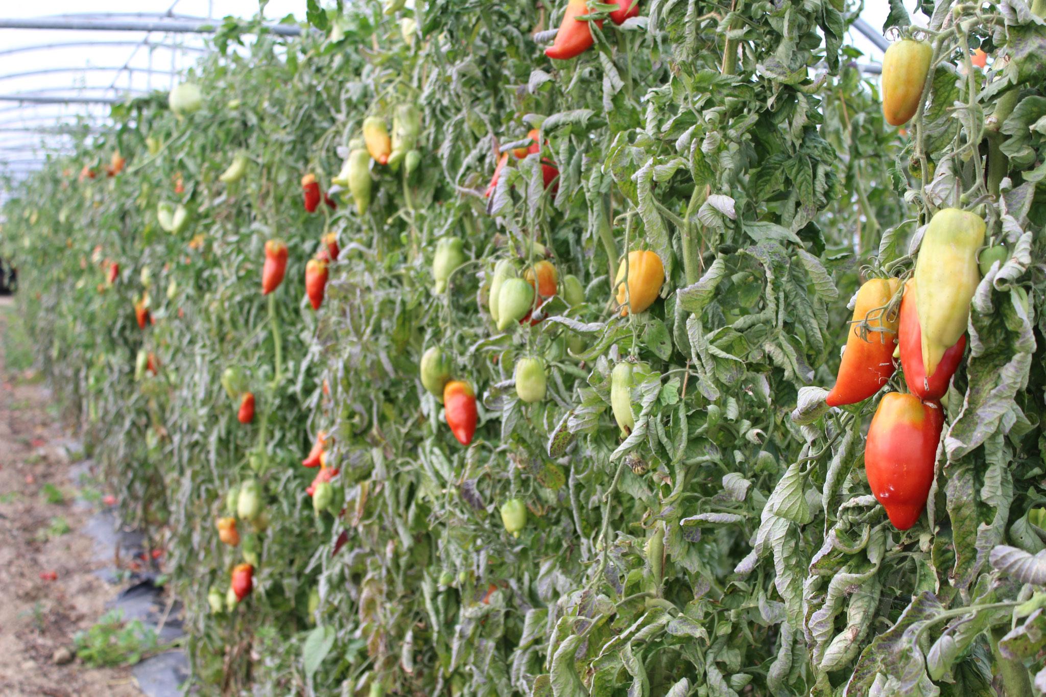 Tomates cornues rouges