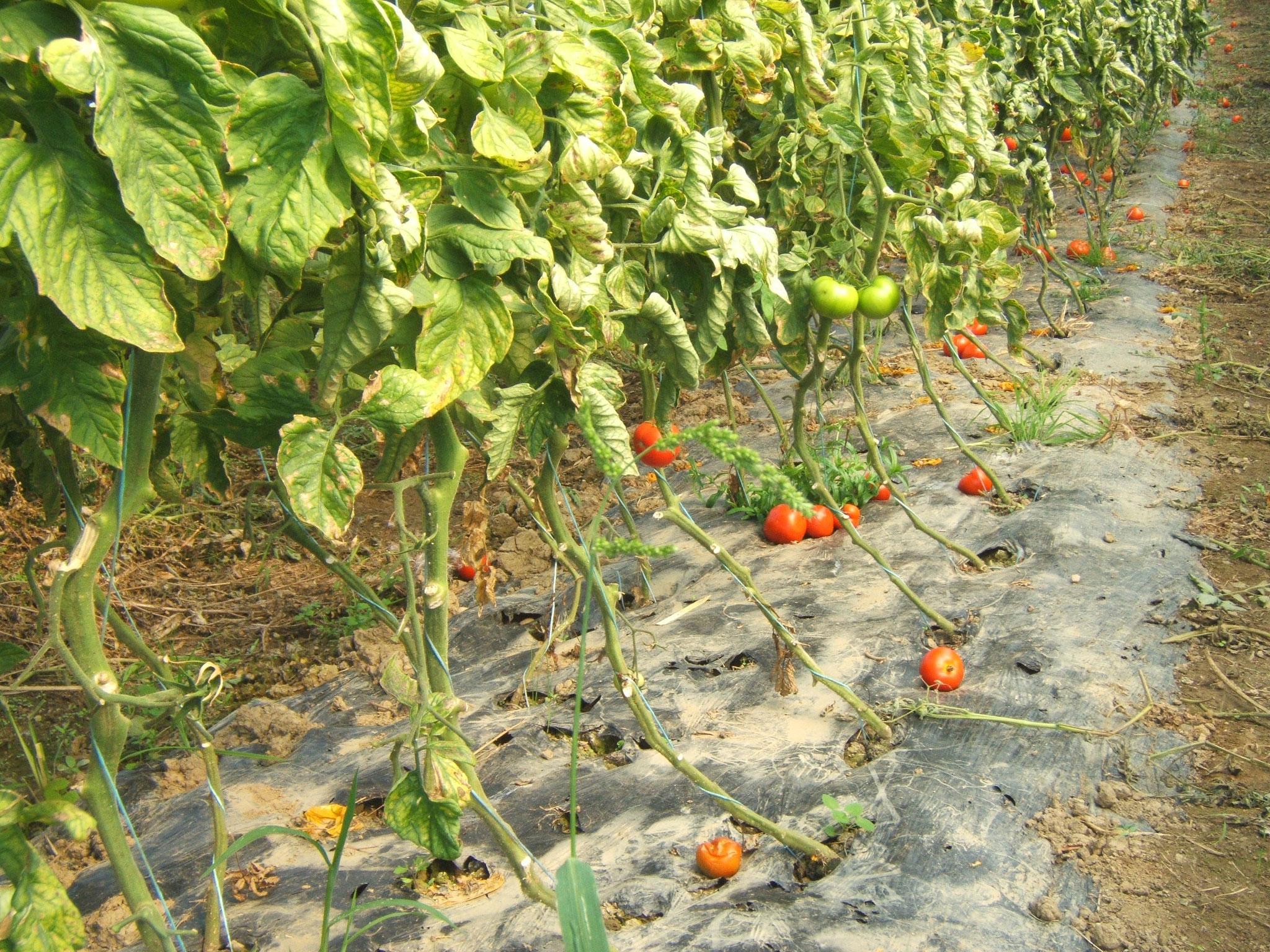 Paillage biodégradable sur tomates. Arrosages par goutte à goutte pour ne pas mouiller le feuillage pour éviter le développement des maladies.