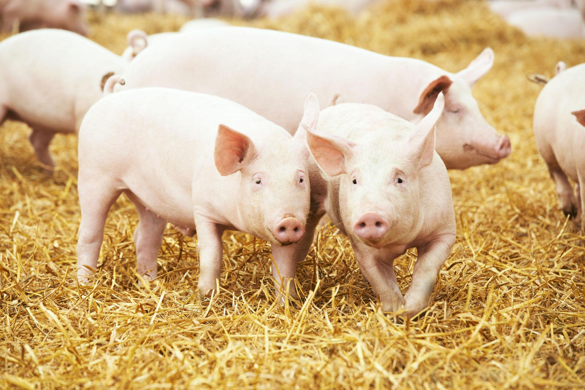 Einsatz von Pflanzenkohle in der Schweinezucht