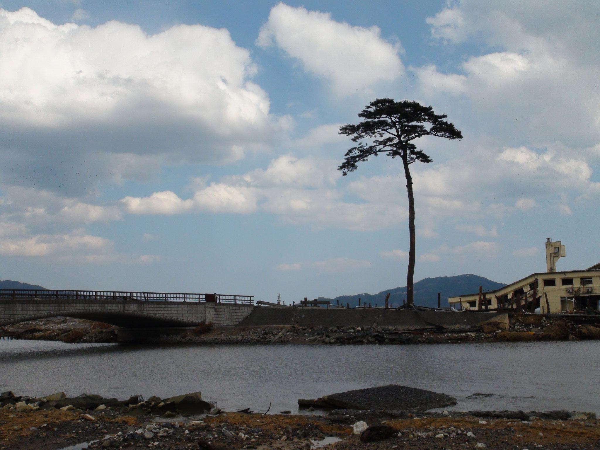 田松原 有名になってしまった1本松。
