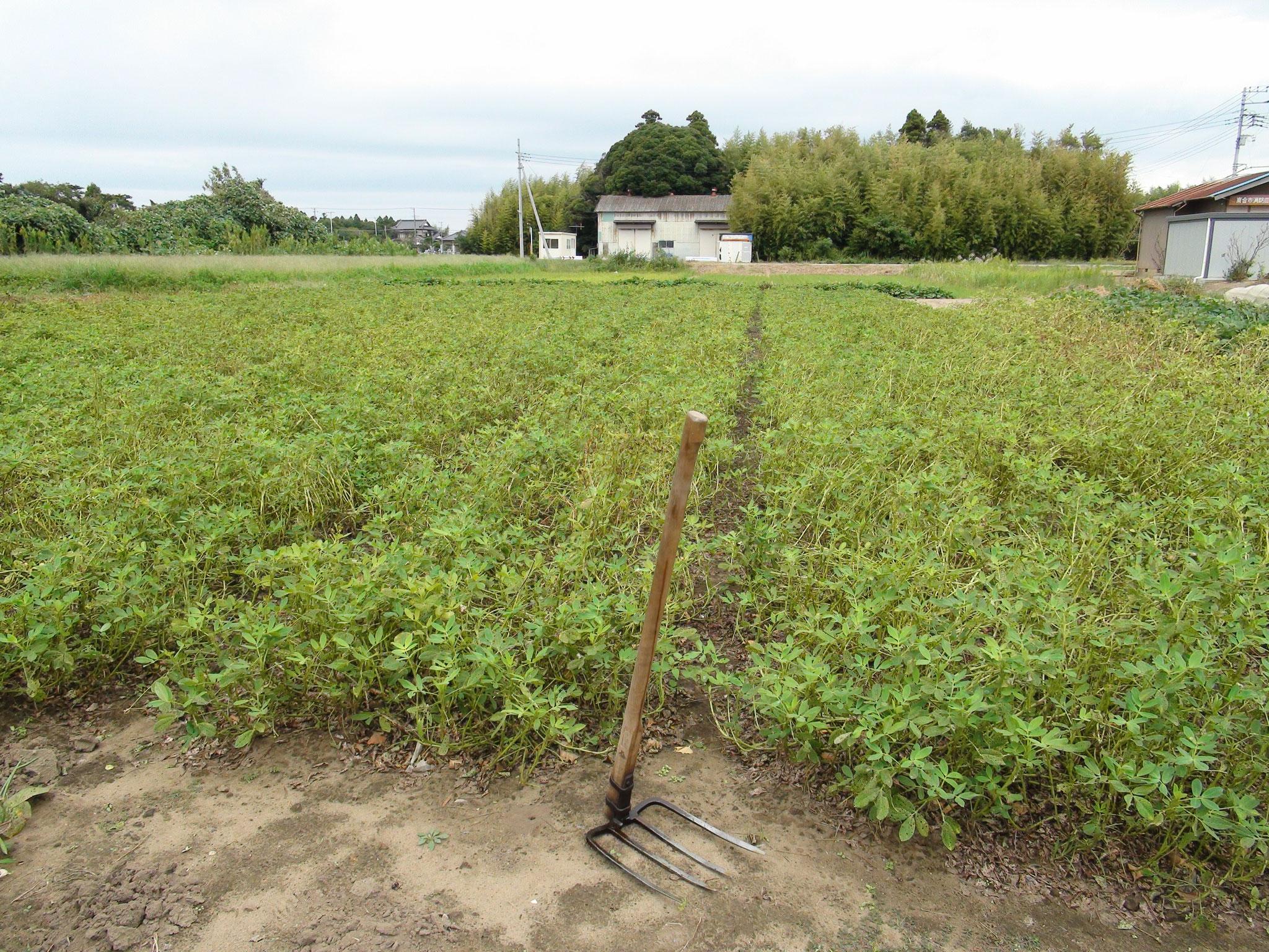 掘り起こす前の落花生畑。 とりかかる前にまず一服してと。