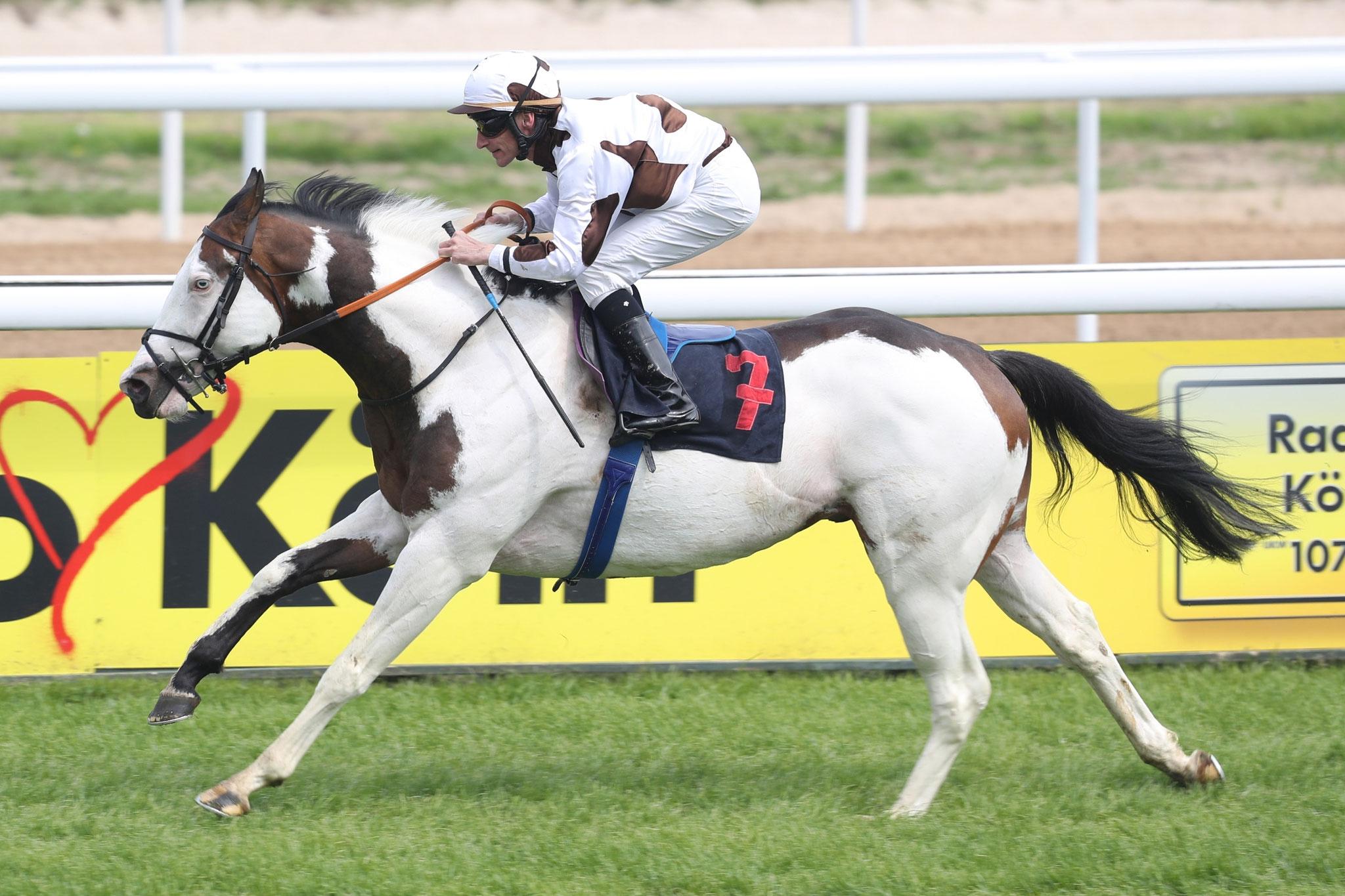 Wie cool ist das denn: Ein Schecke als Rennpferd, und der Jockey im Partnerlook. Mehr über den neuen Vererber in Marbach HIER