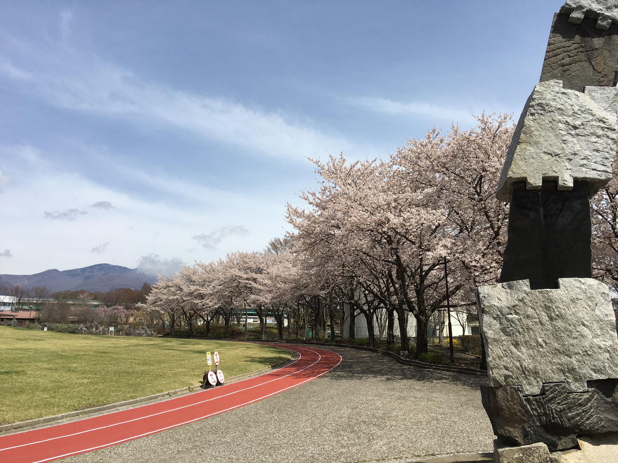 芝生広場の桜