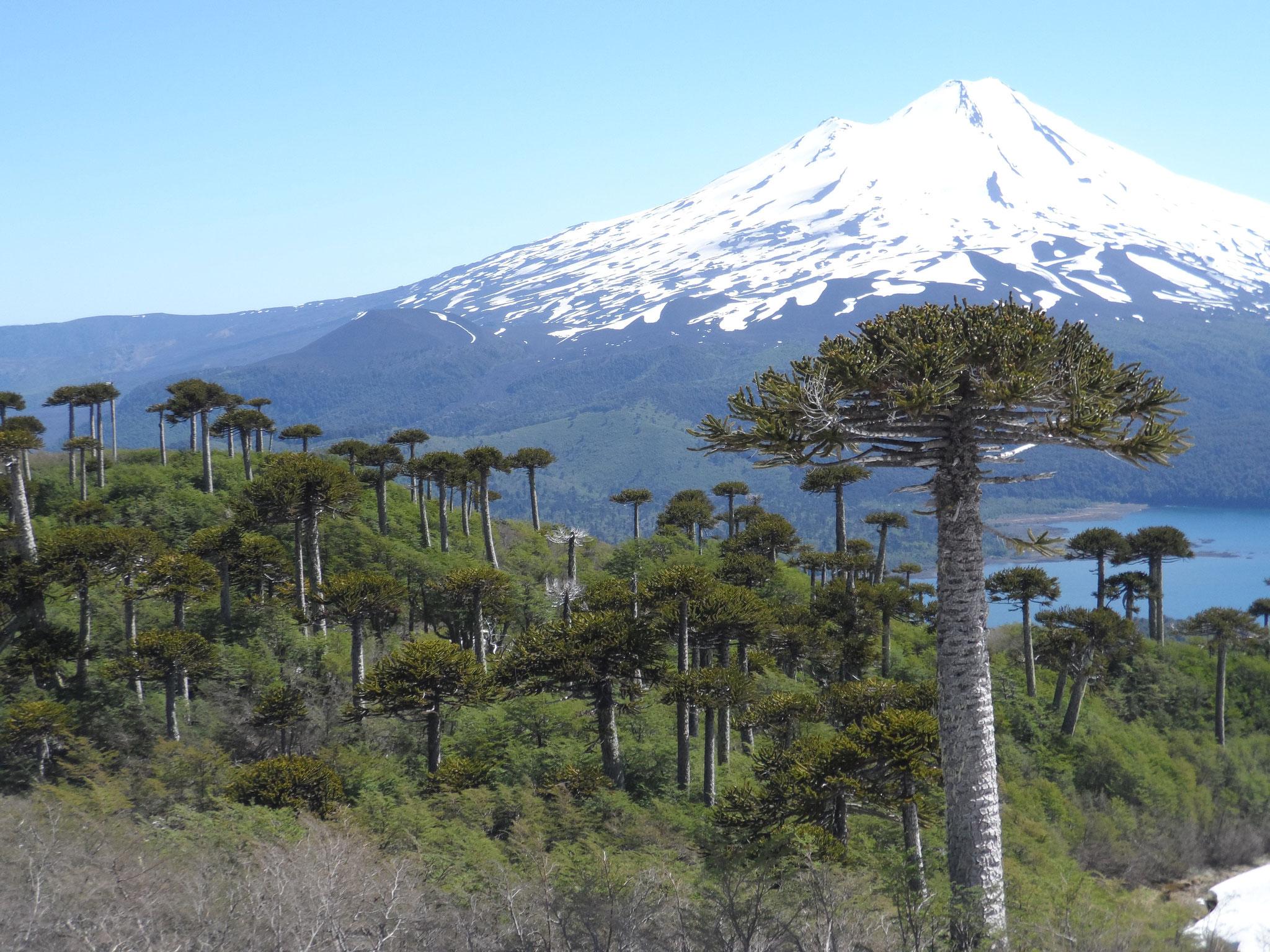 les arbres emblématiques: Araucarias