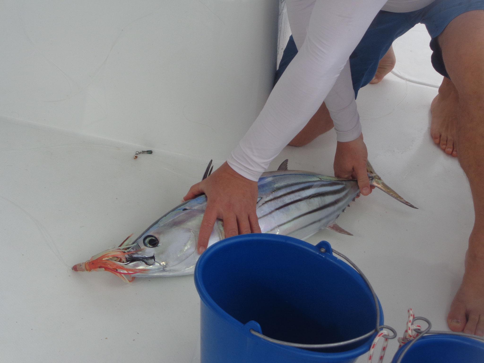On pêche le thon rouge !!