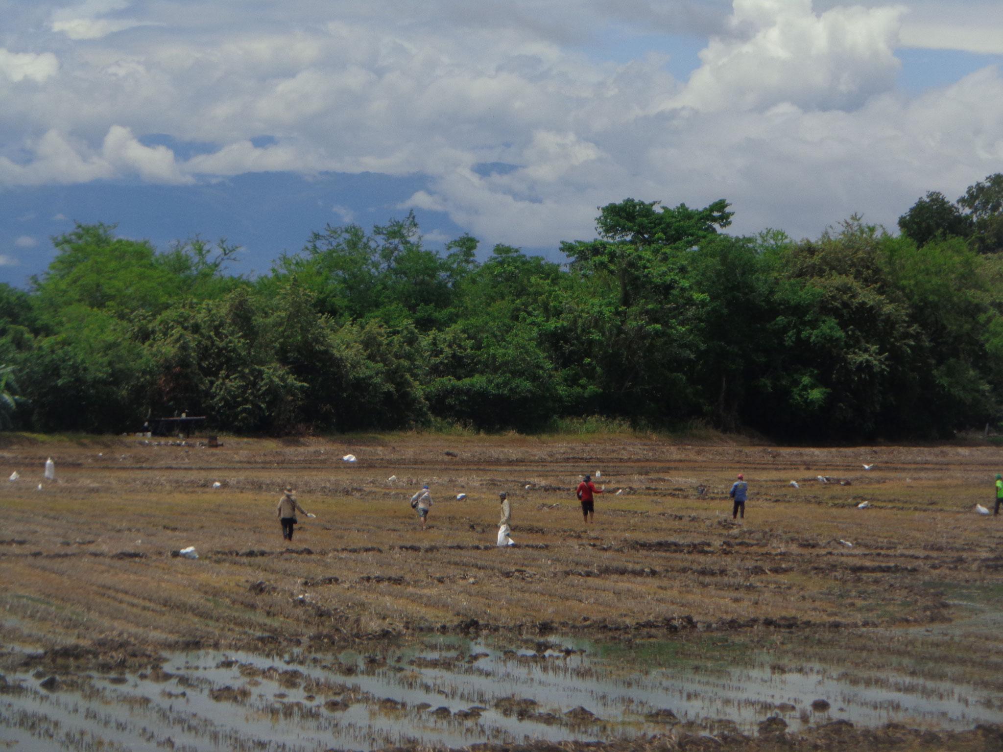 Le semis de riz a la volee