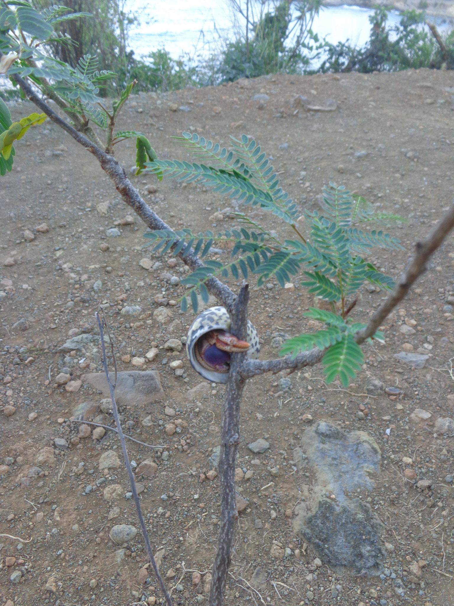 Et des Bernards l'Hermite qui grimpent aux arbres ??