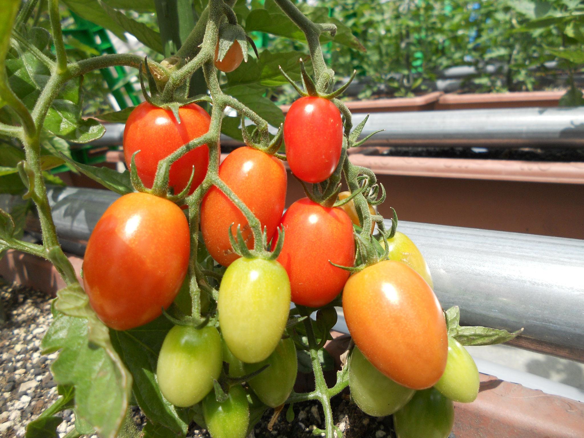 北ごみ総研のトマトボランティア:ミニトマトの収穫が始まりました!