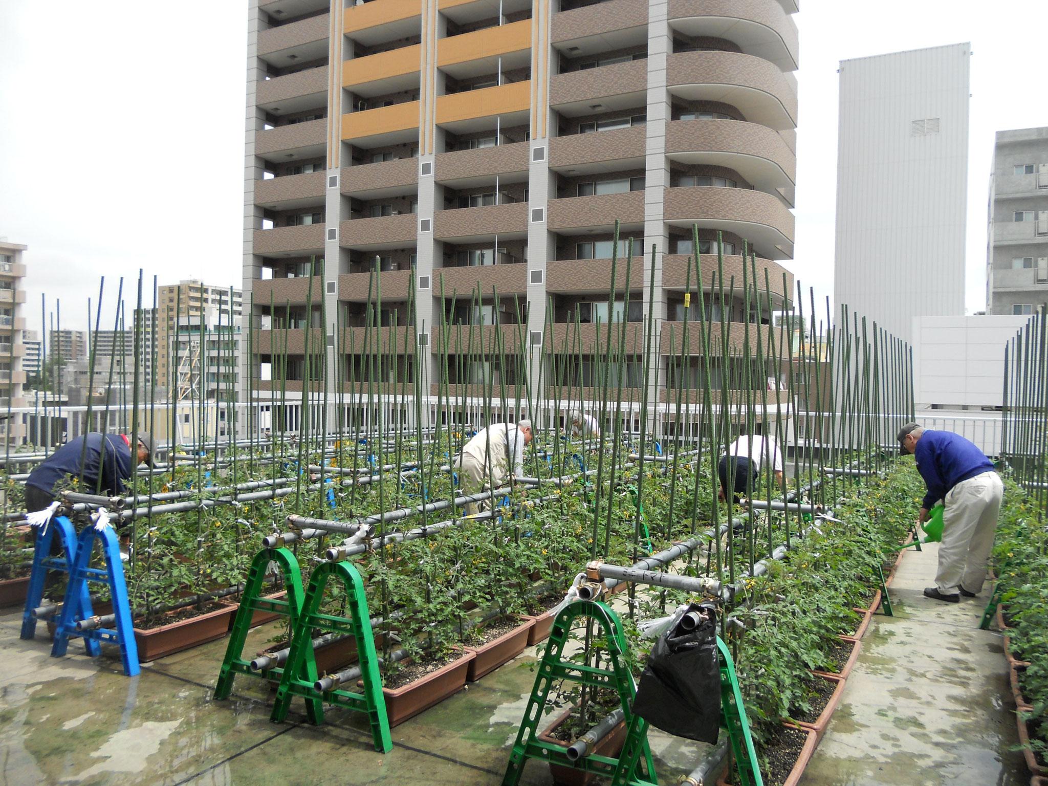 北ごみ総研のトマトボランティア:屋上トマト栽培始まりました!